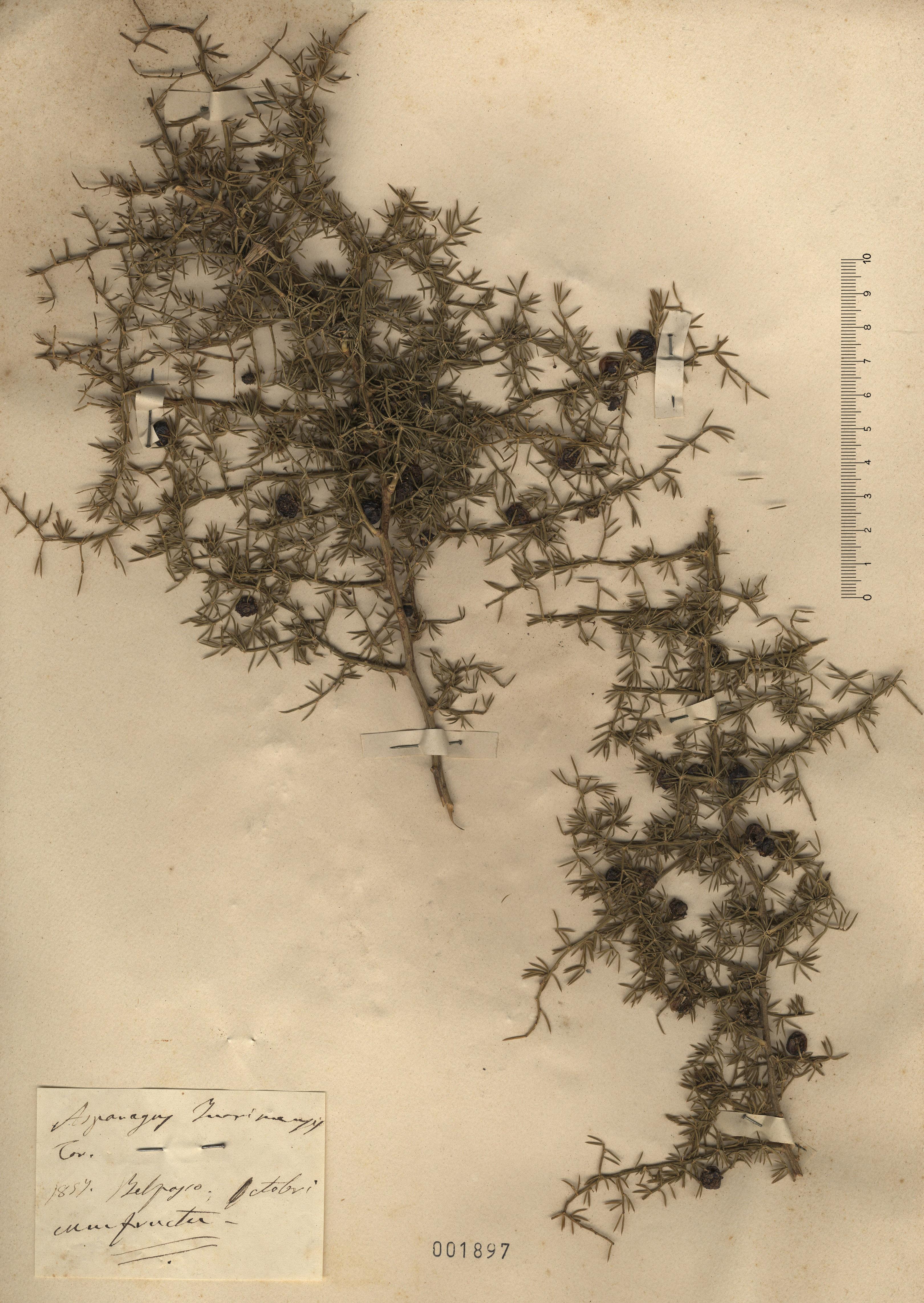 © Hortus Botanicus Catinensis - Herb. sheet 001897<br>