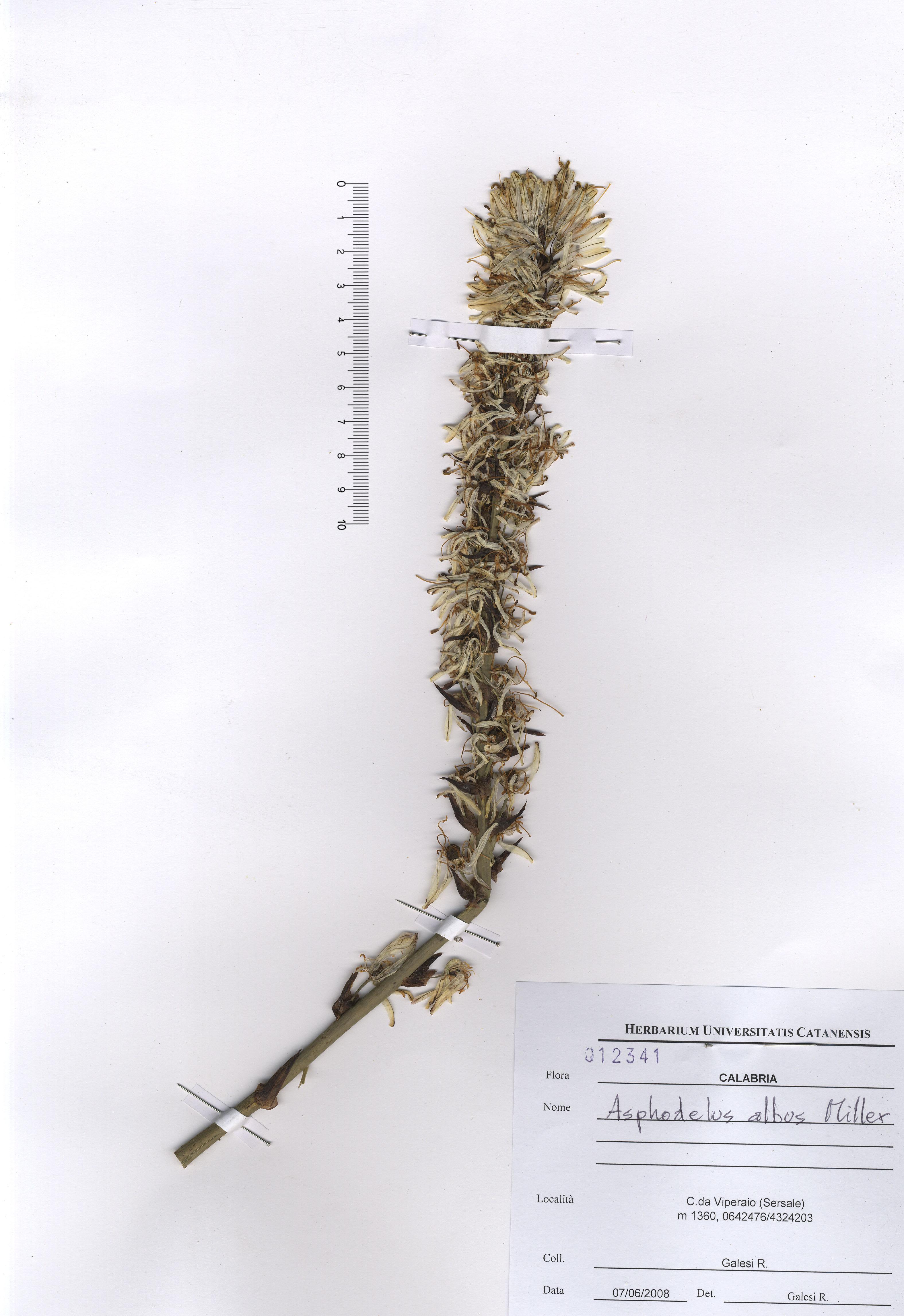 © Hortus Botanicus Catinensis - Herb. sheet 012341<br>
