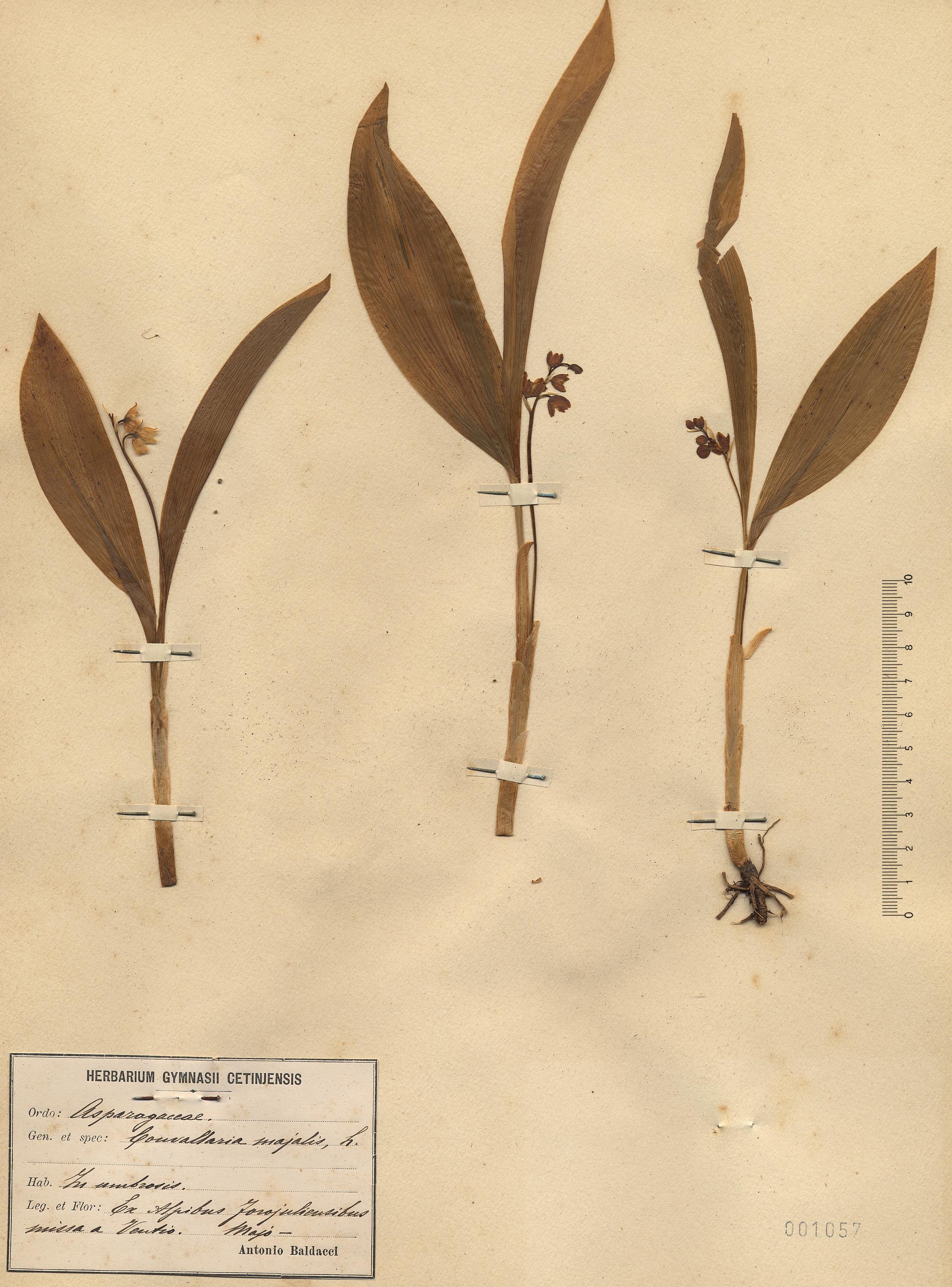 © Hortus Botanicus Catinensis - Herb. sheet 001057<br>