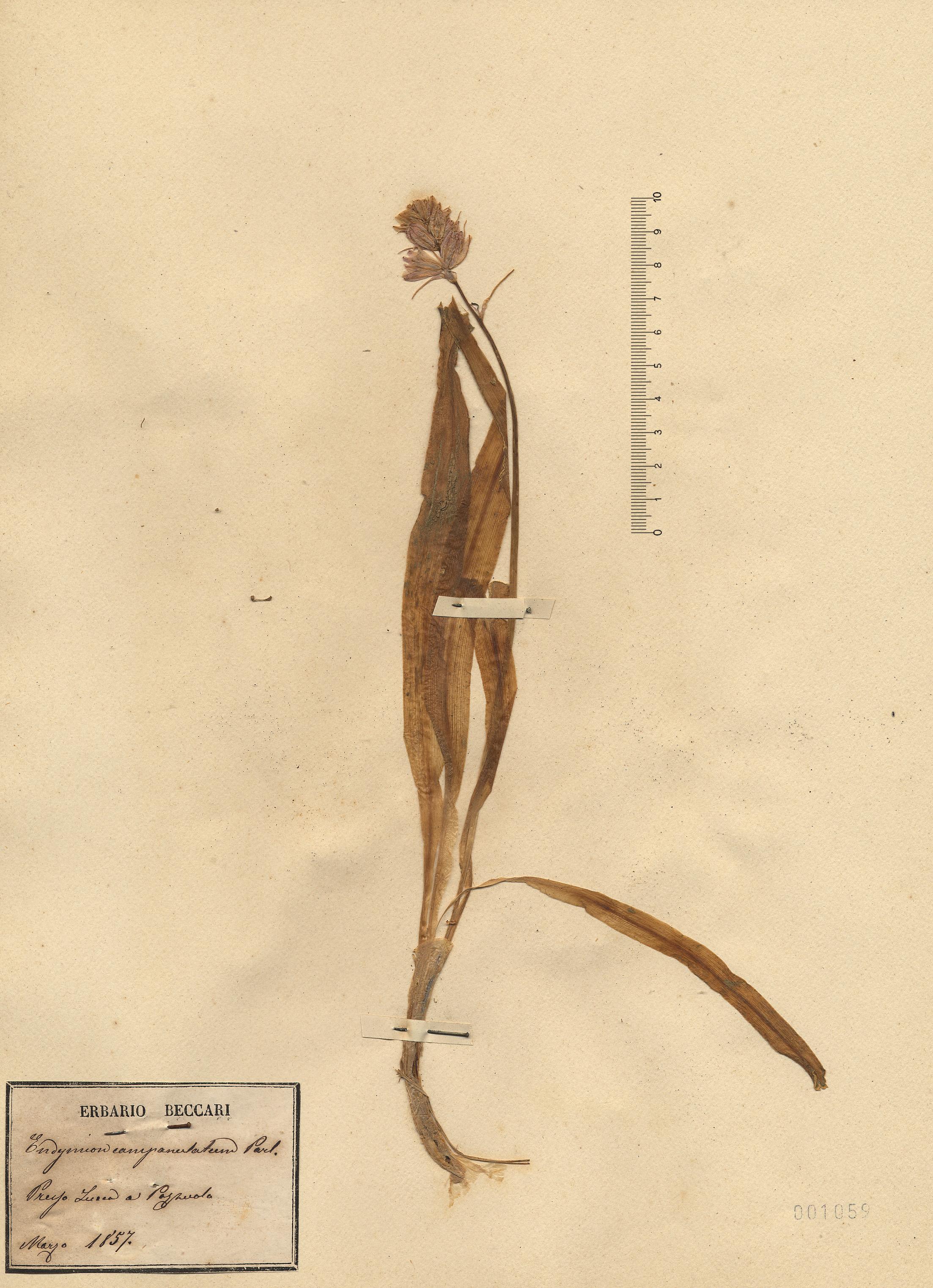 © Hortus Botanicus Catinensis - Herb. sheet 001059<br>