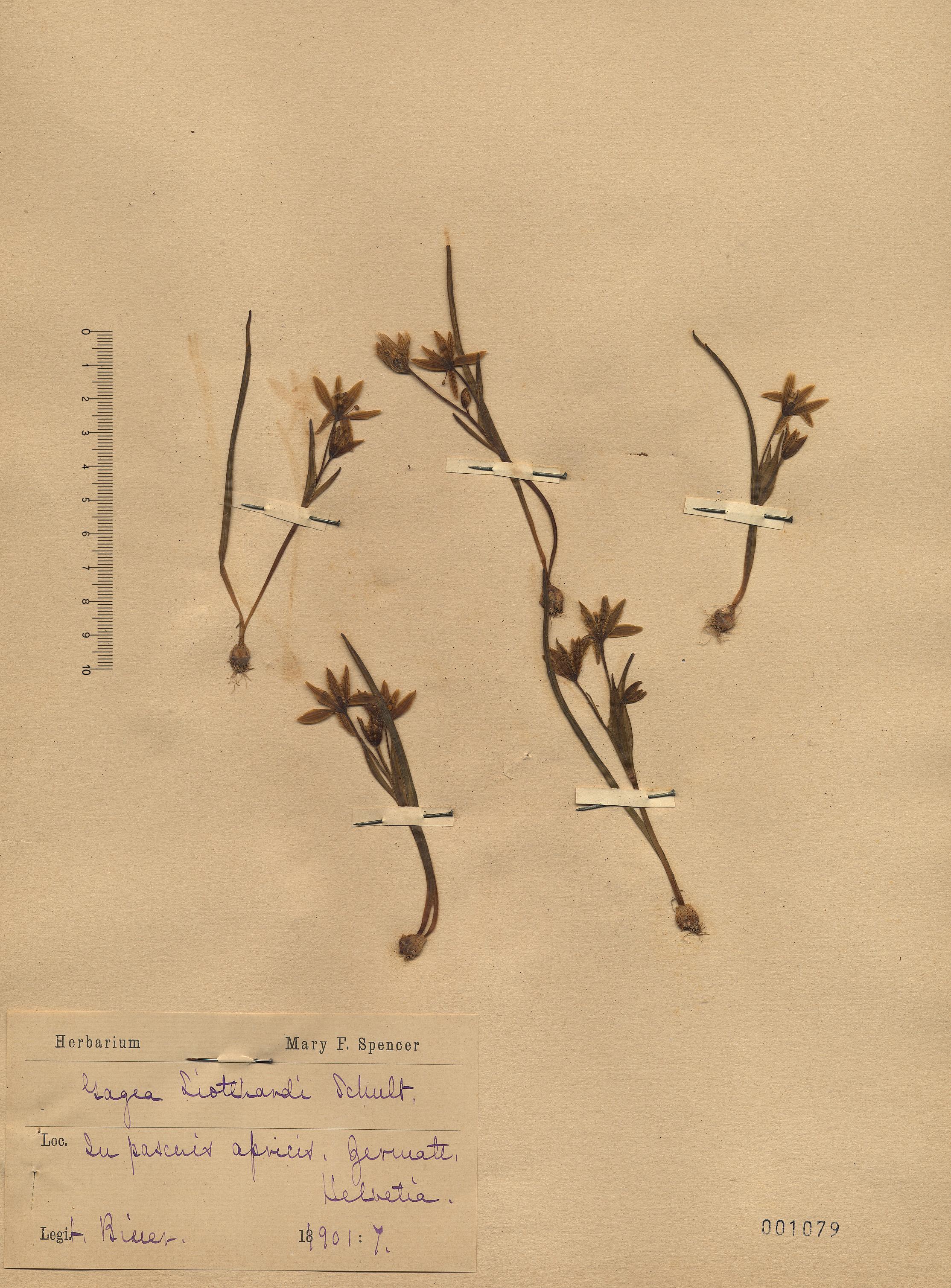 &copy; Hortus Botanicus Catinensis - Herb. sheet 001079<br>