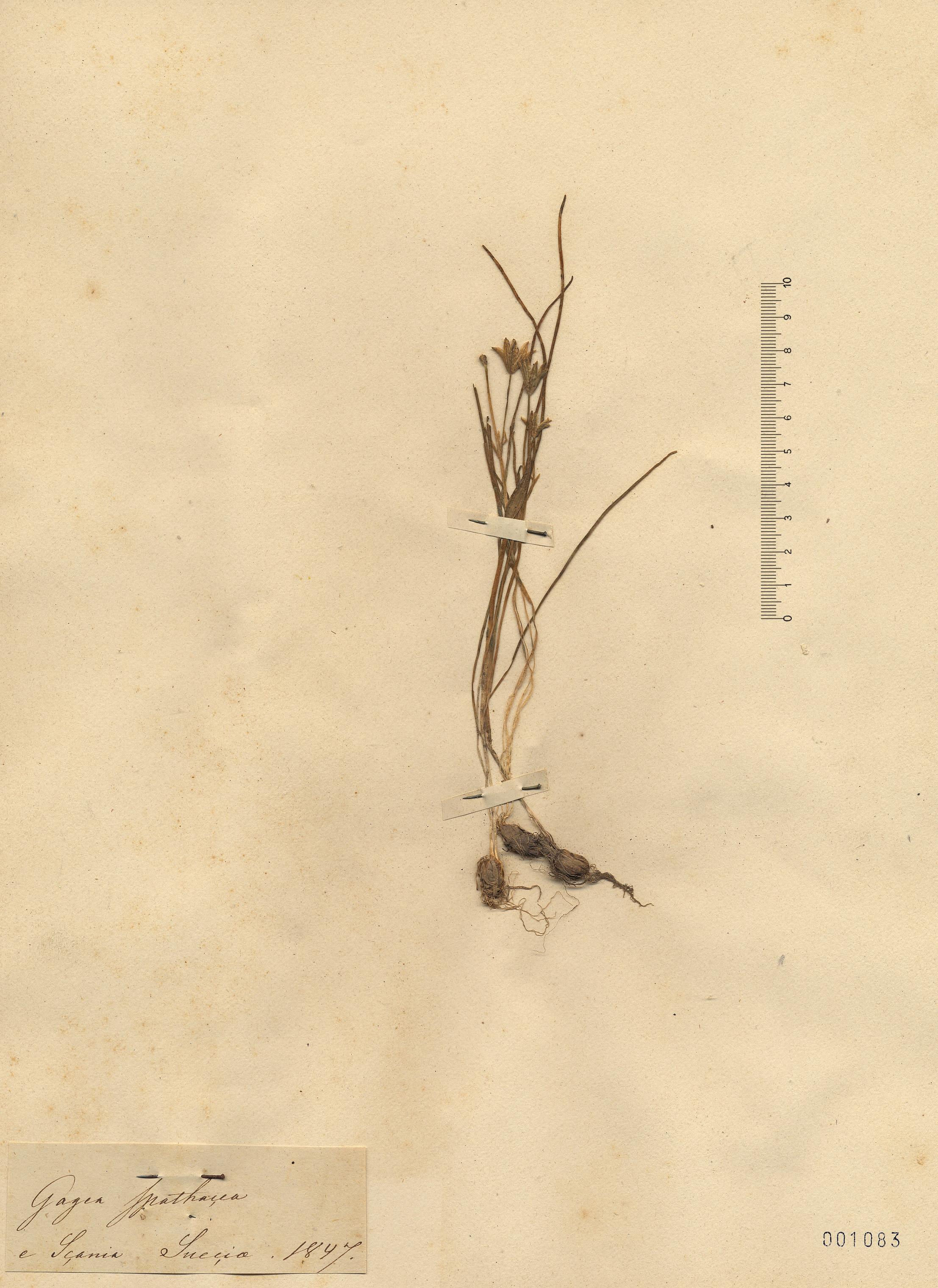 © Hortus Botanicus Catinensis - Herb. sheet 001083<br>