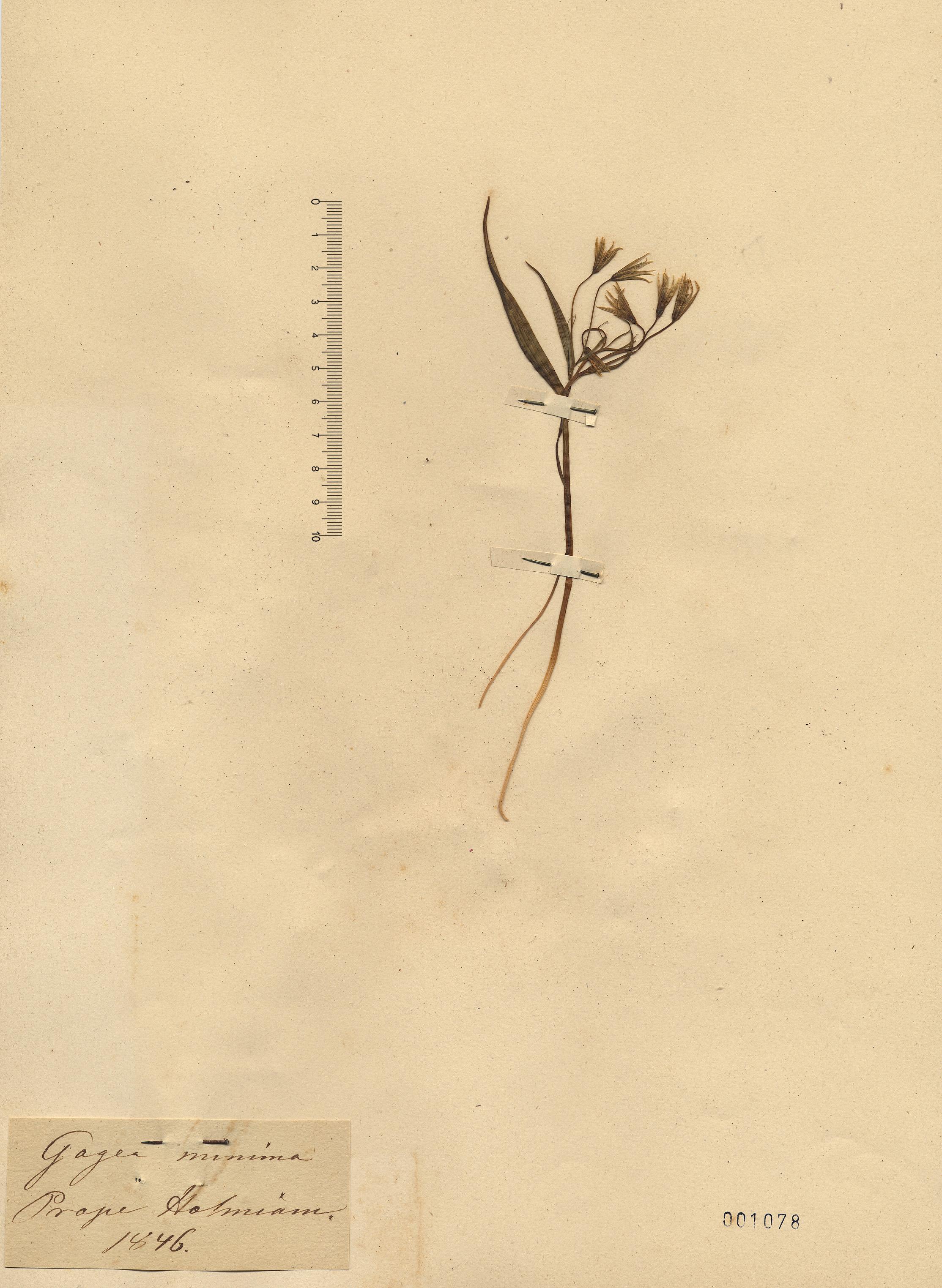 © Hortus Botanicus Catinensis - Herb. sheet 001078<br>