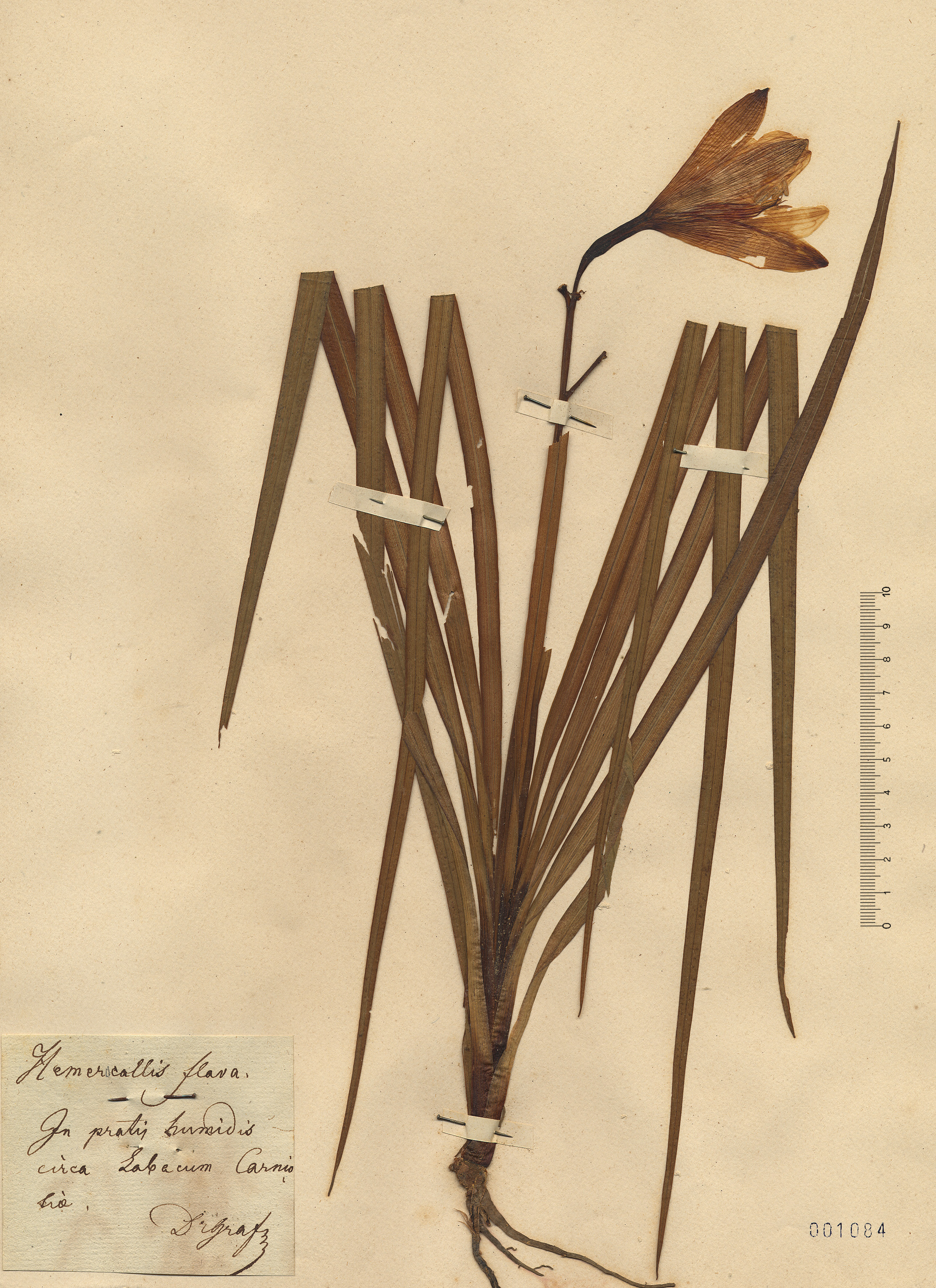 © Hortus Botanicus Catinensis - Herb. sheet 001084<br>