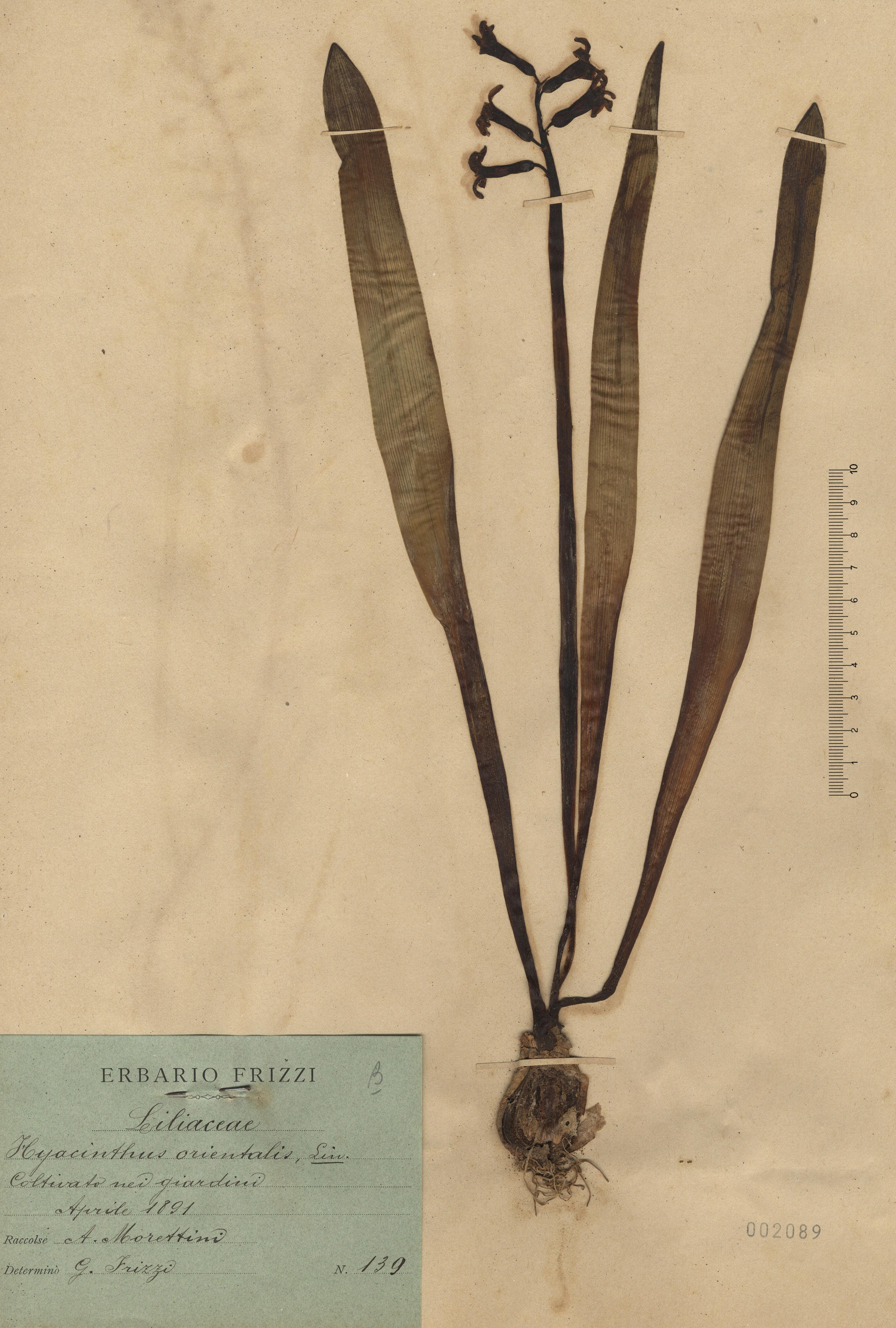 © Hortus Botanicus Catinensis - Herb. sheet 002089<br>