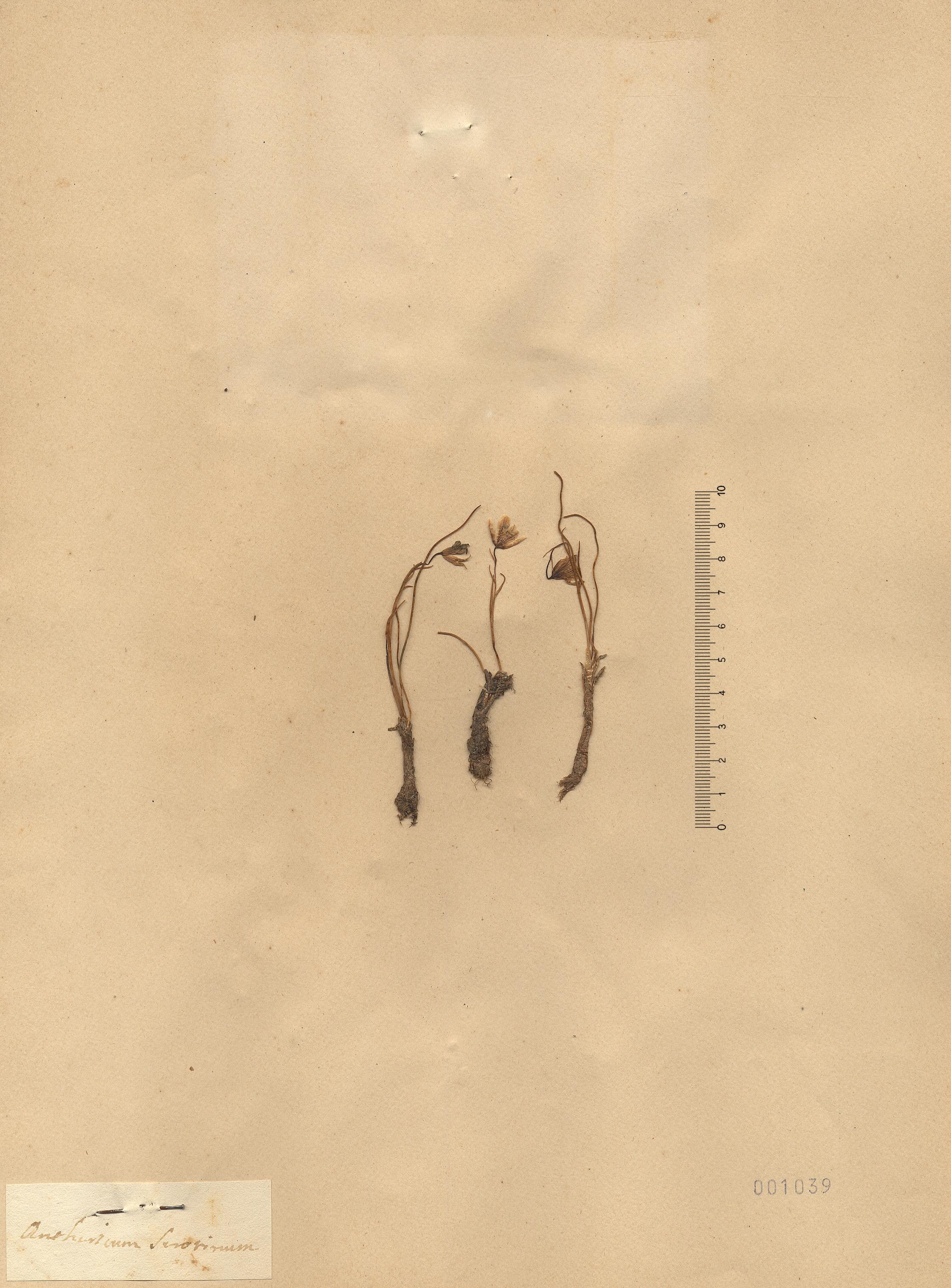 © Hortus Botanicus Catinensis - Herb. sheet 001039<br>