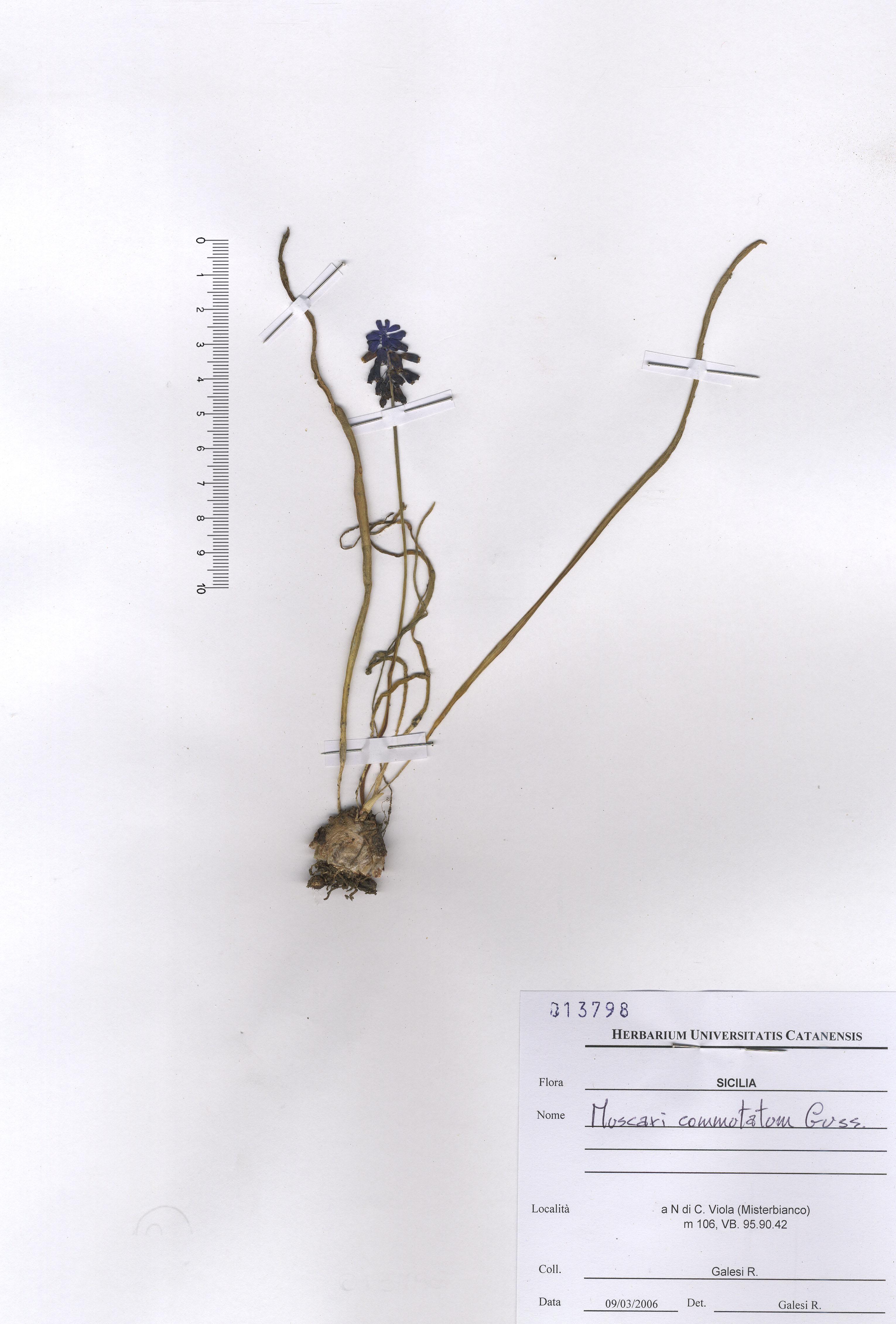 &copy; Hortus Botanicus Catinensis - Herb. sheet 013798<br>