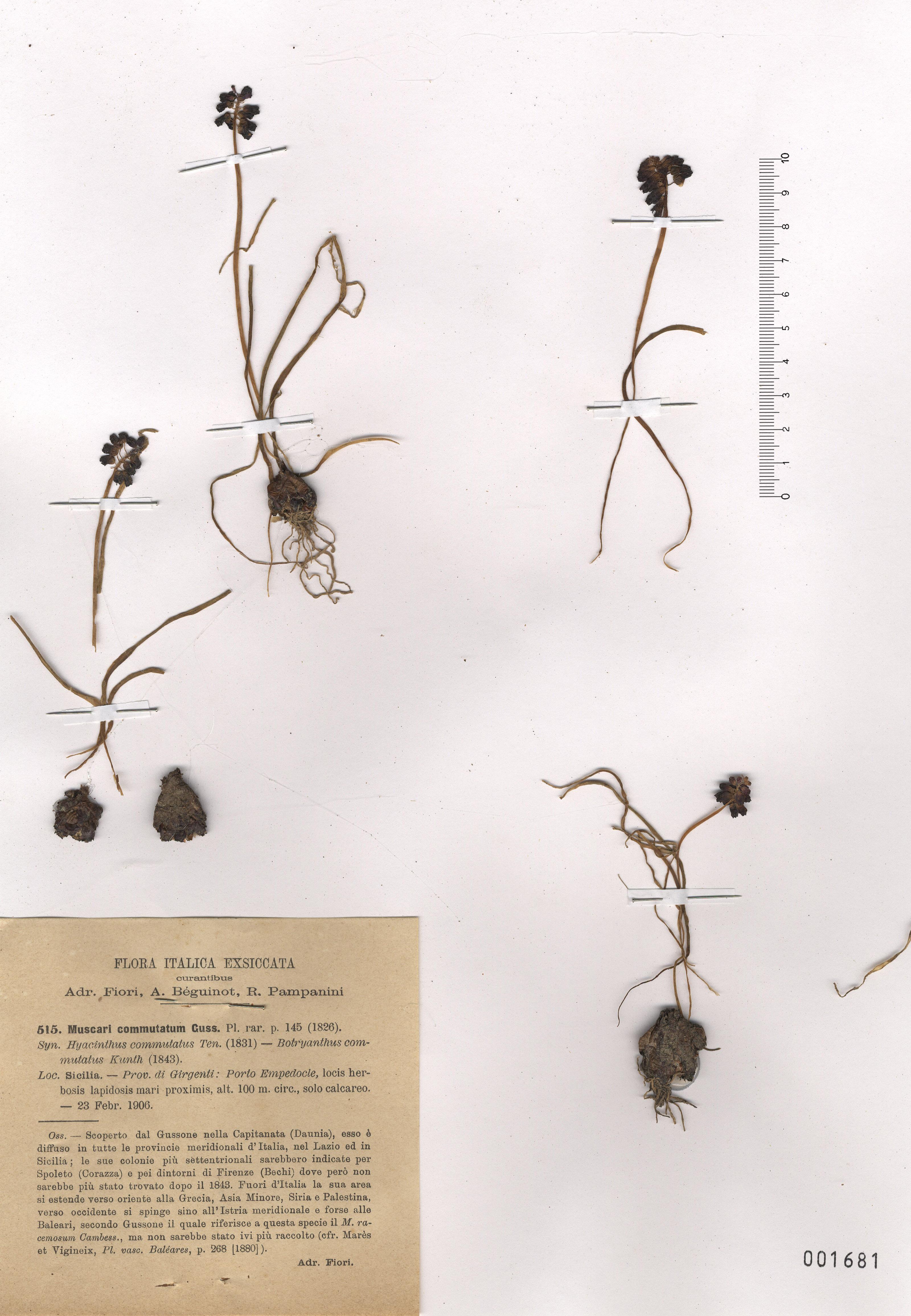 &copy; Hortus Botanicus Catinensis - Herb. sheet 001681<br>