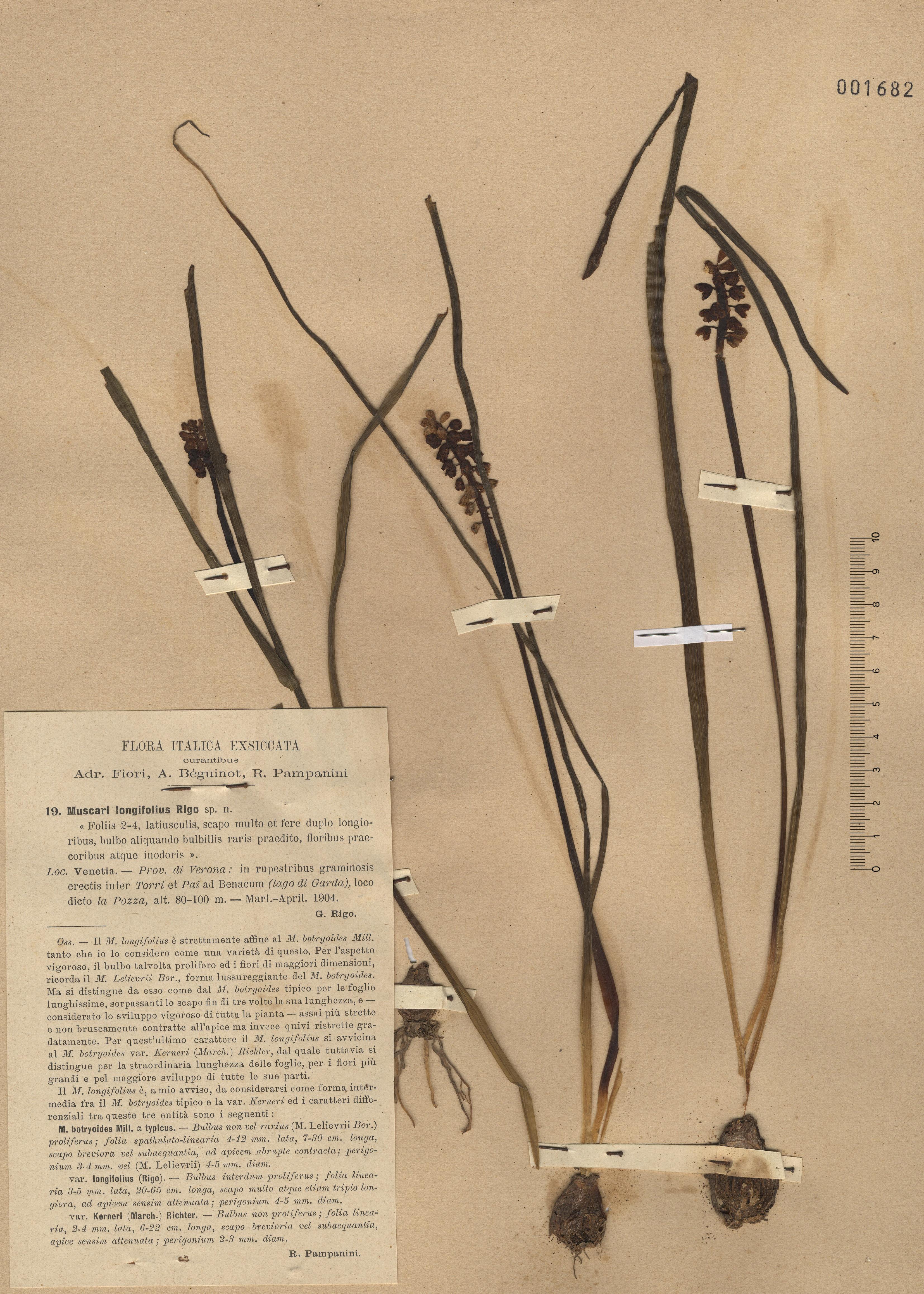 &copy; Hortus Botanicus Catinensis - Herb. sheet 001682<br>