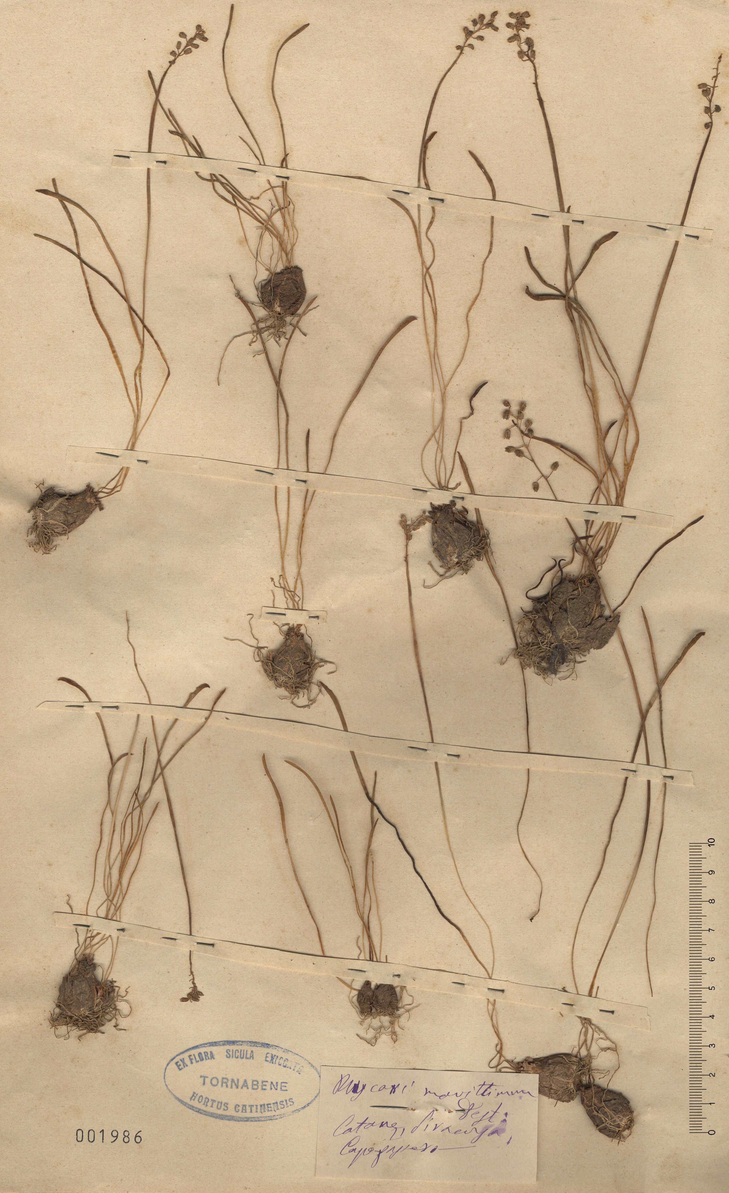 &copy; Hortus Botanicus Catinensis - Herb. sheet 001986<br>