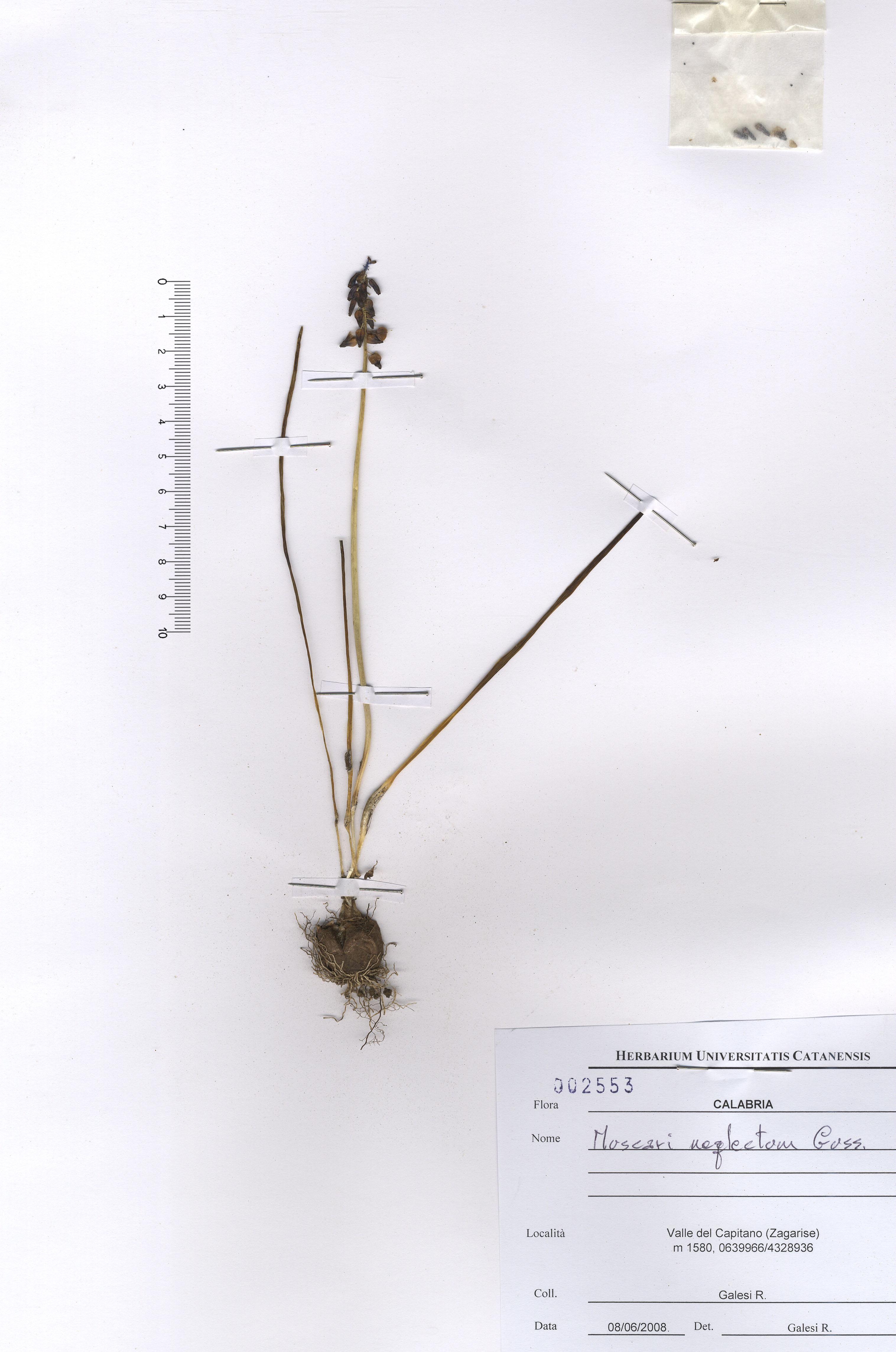 © Hortus Botanicus Catinensis - Herb. sheet 002553<br>