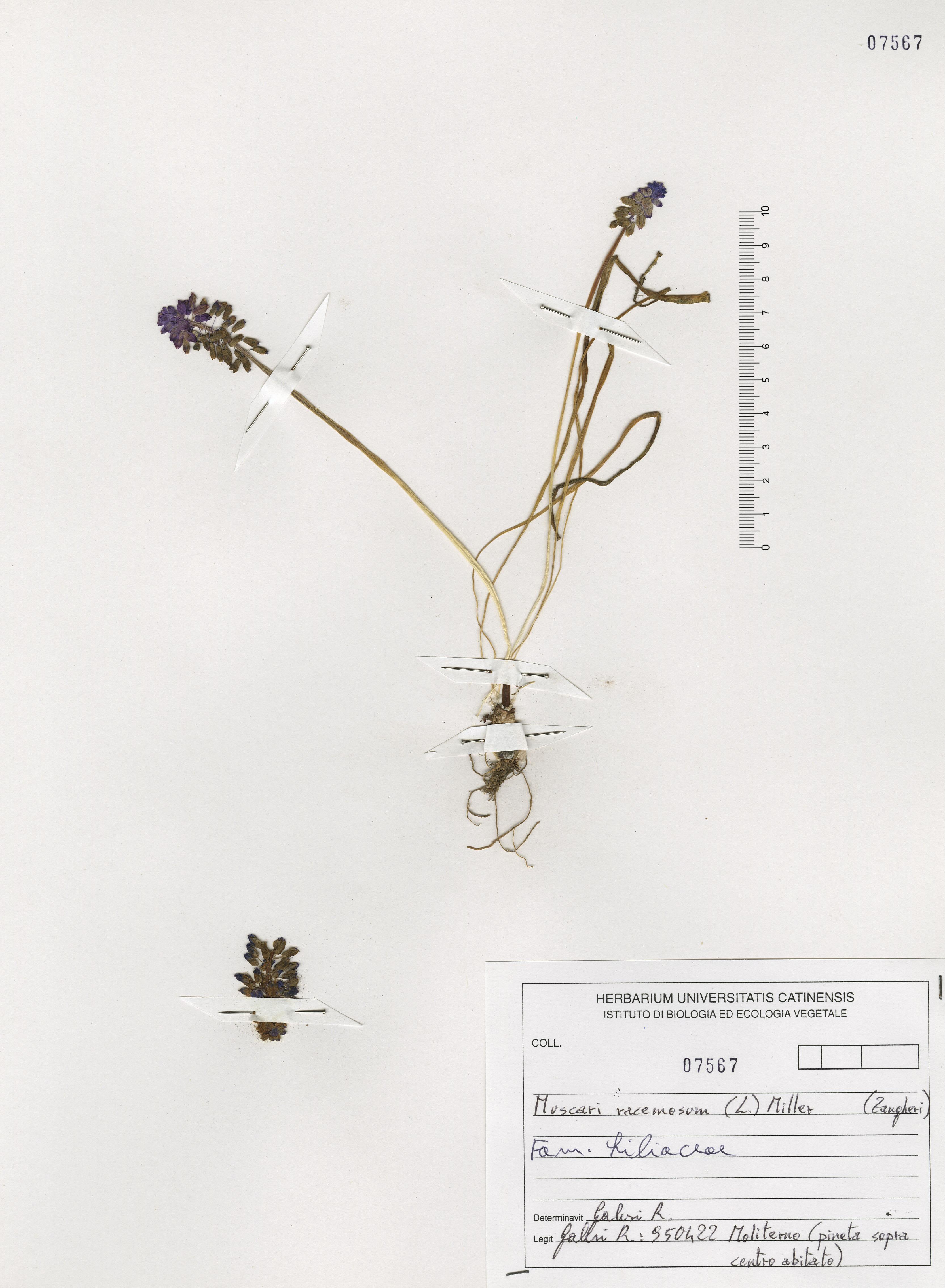 © Hortus Botanicus Catinensis - Herb. sheet 107567<br>