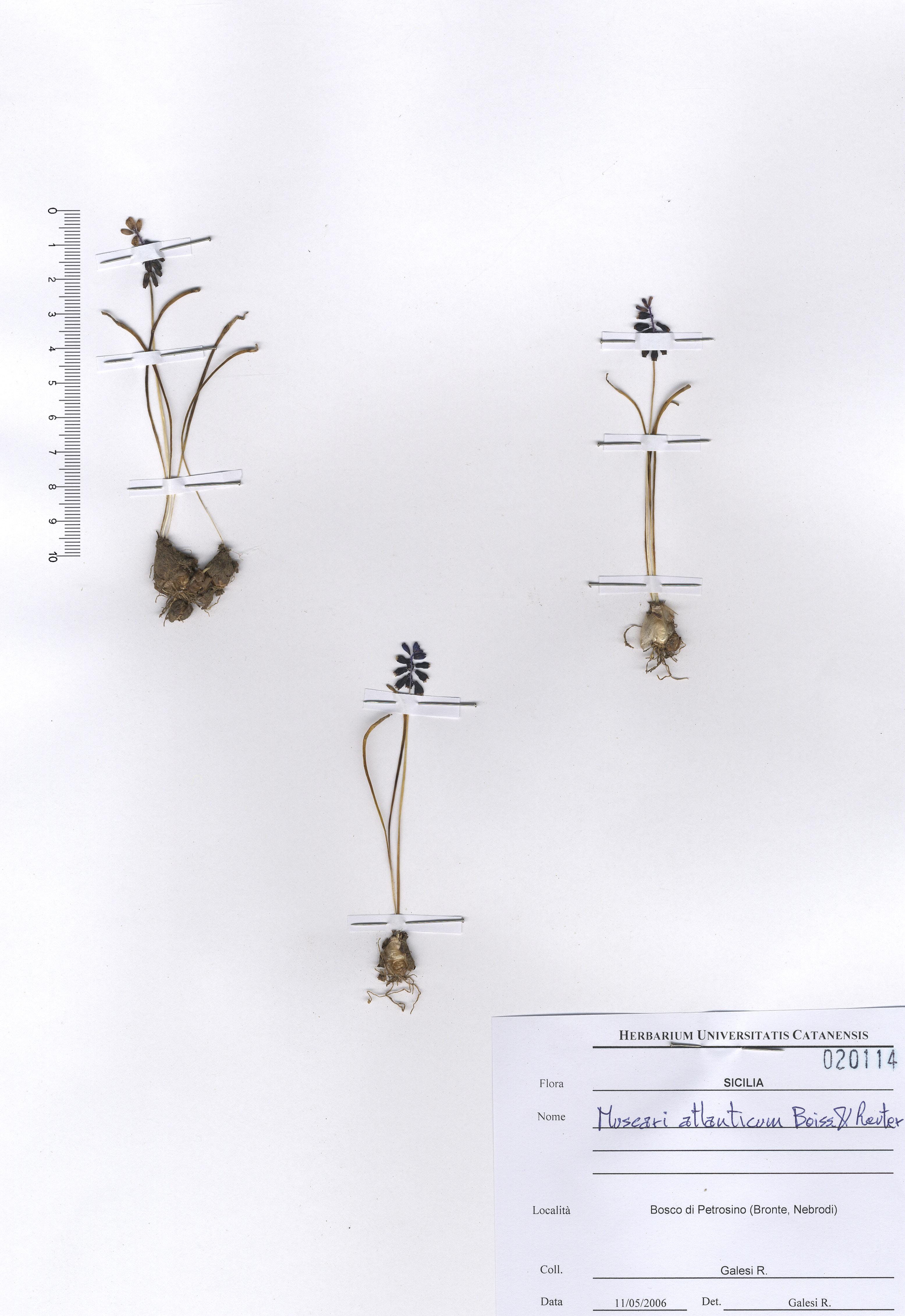© Hortus Botanicus Catinensis - Herb. sheet 020114<br>