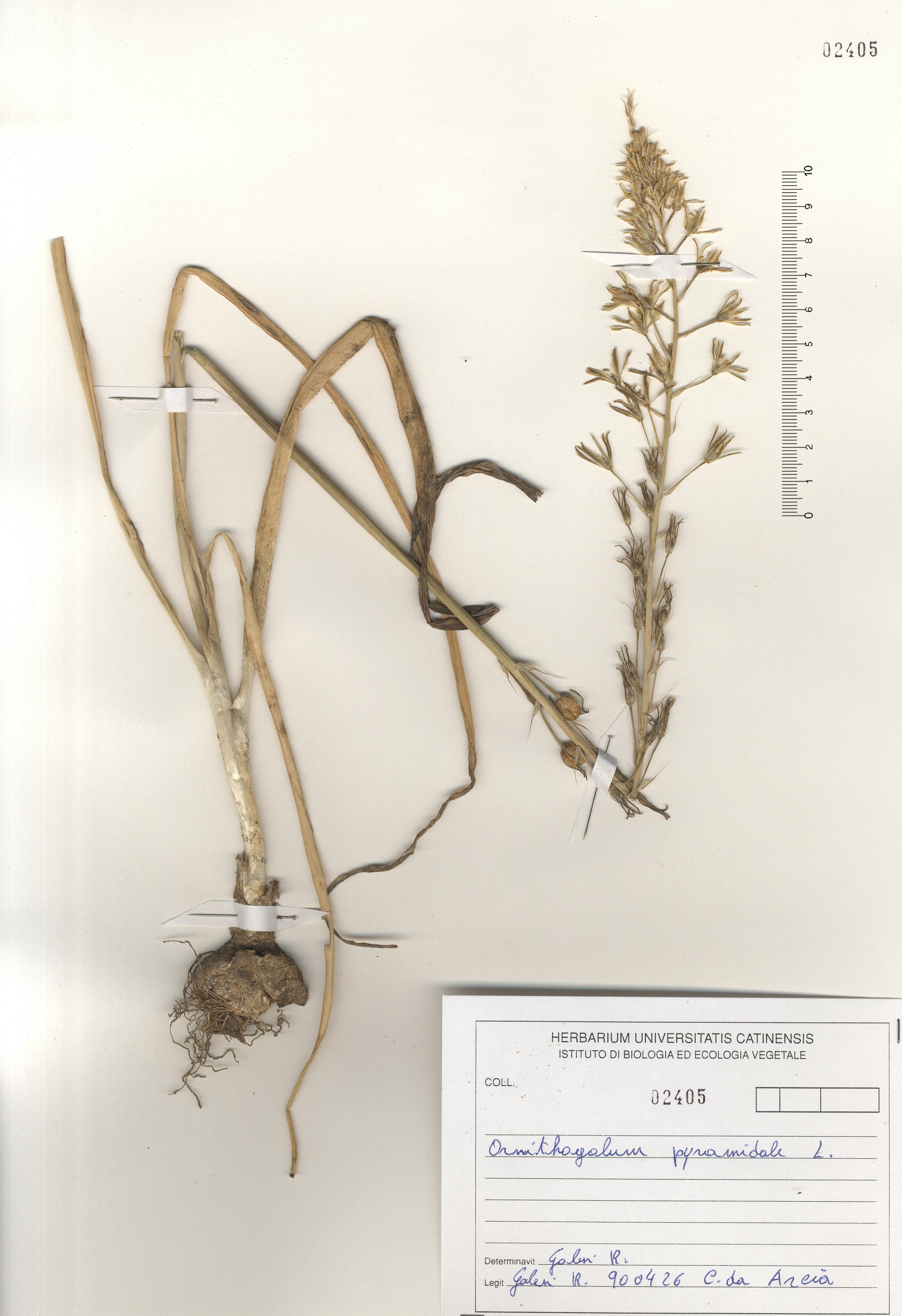 © Hortus Botanicus Catinensis - Herb. sheet 102405<br>