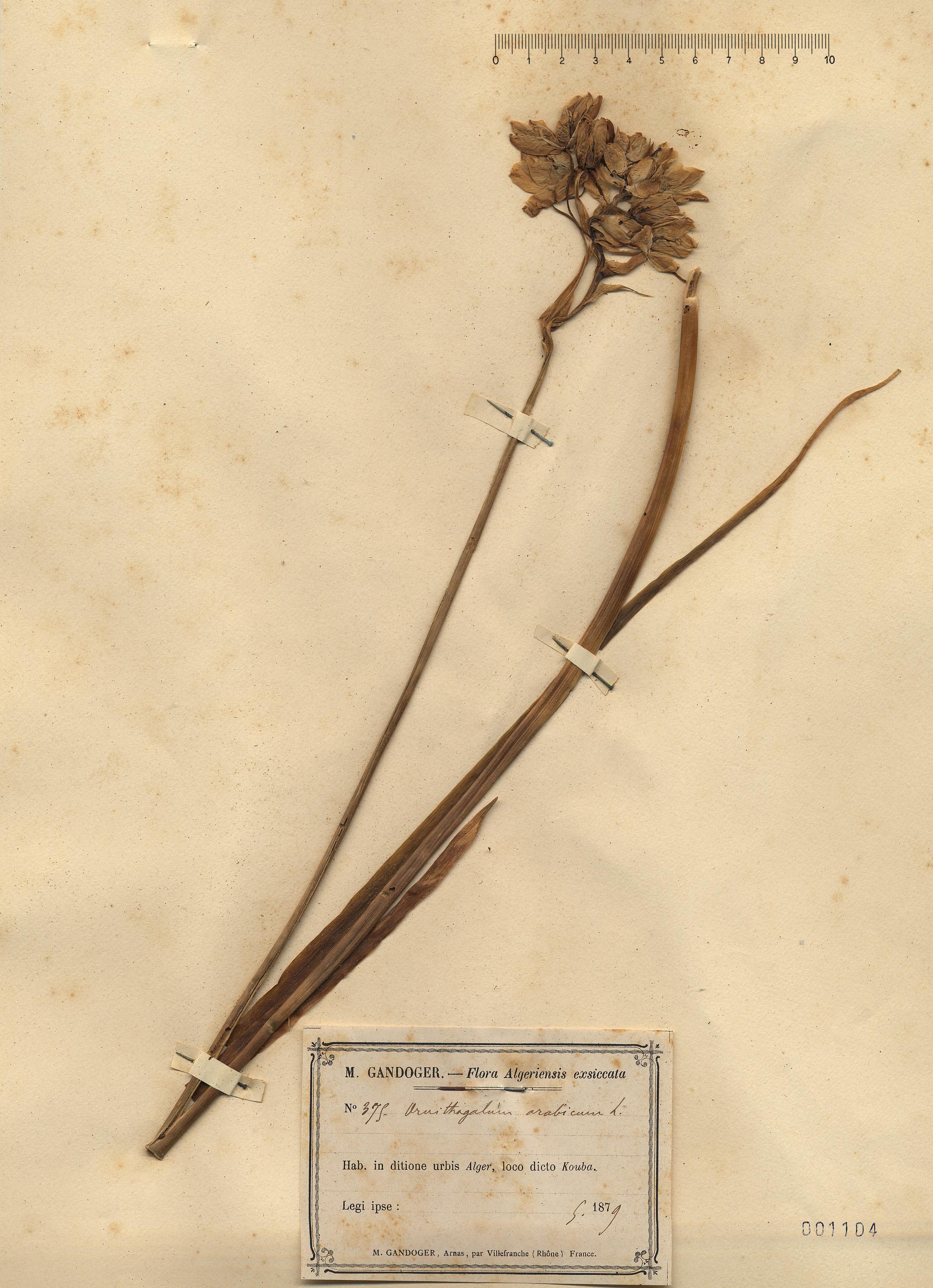 © Hortus Botanicus Catinensis - Herb. sheet 001104<br>