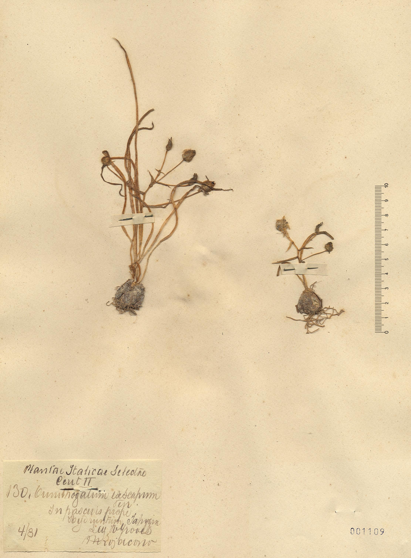 © Hortus Botanicus Catinensis - Herb. sheet 001109<br>