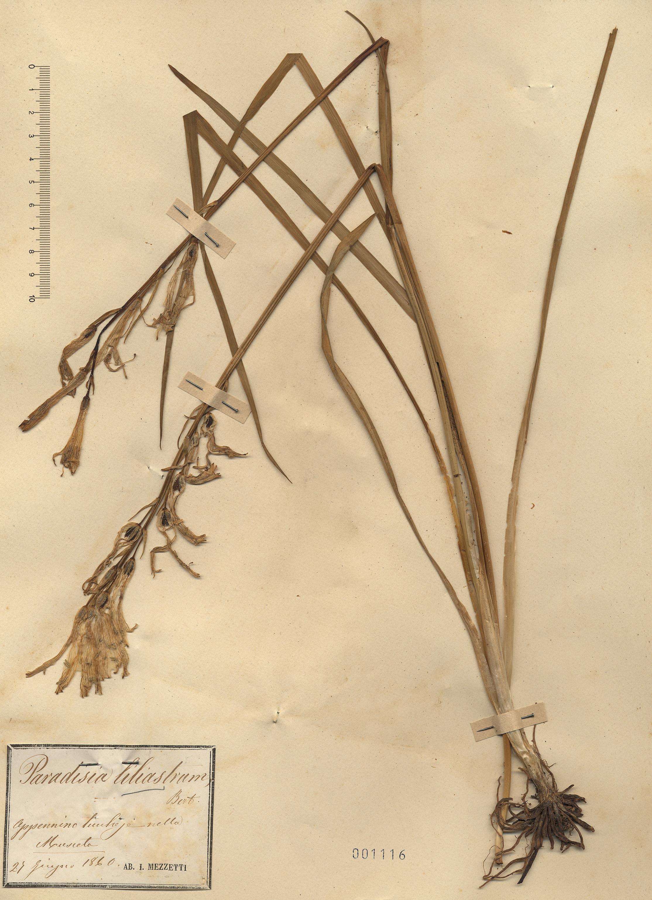 © Hortus Botanicus Catinensis - Herb. sheet 001116<br>