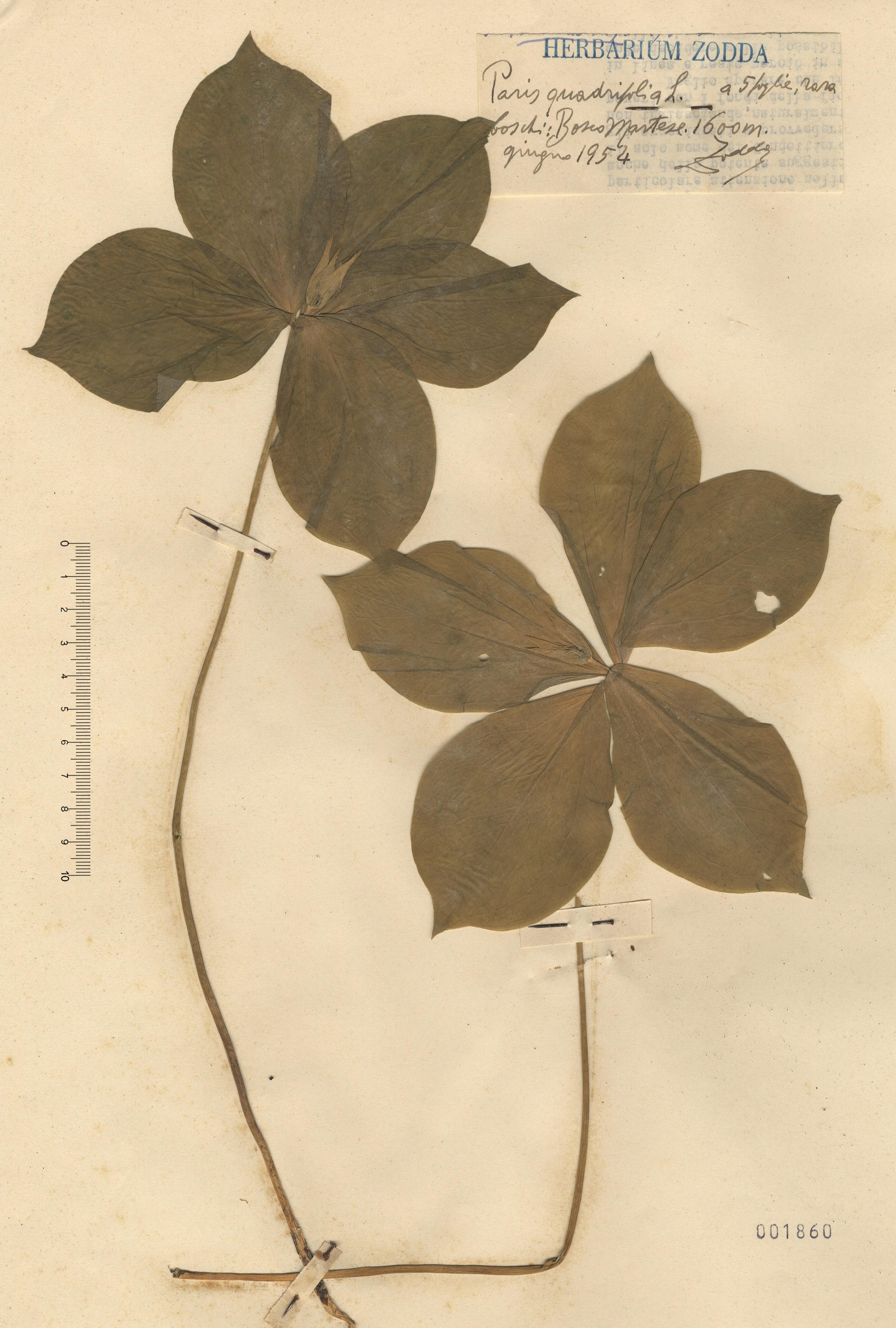 © Hortus Botanicus Catinensis - Herb. sheet 001860<br>