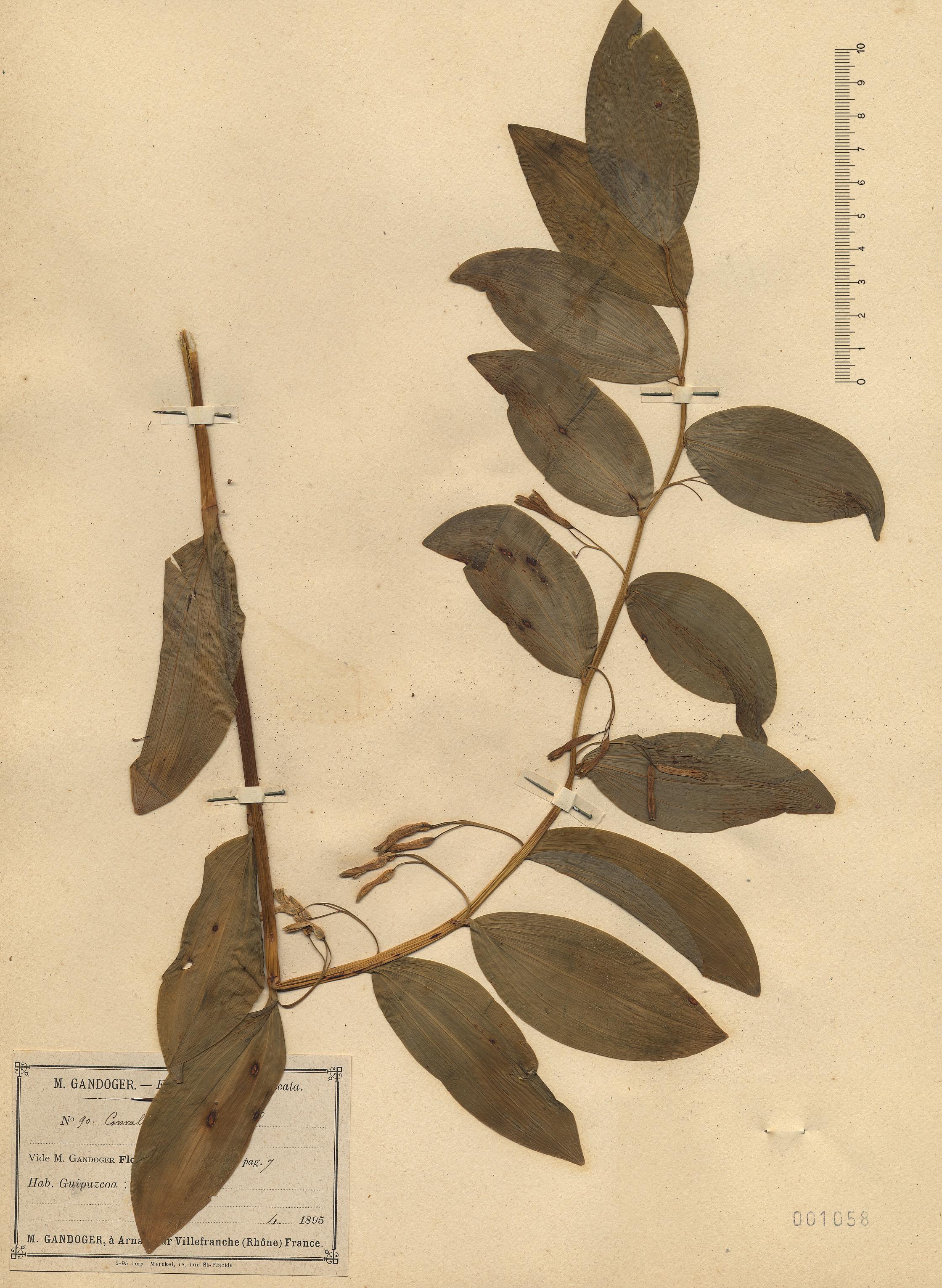 © Hortus Botanicus Catinensis - Herb. sheet 001058<br>