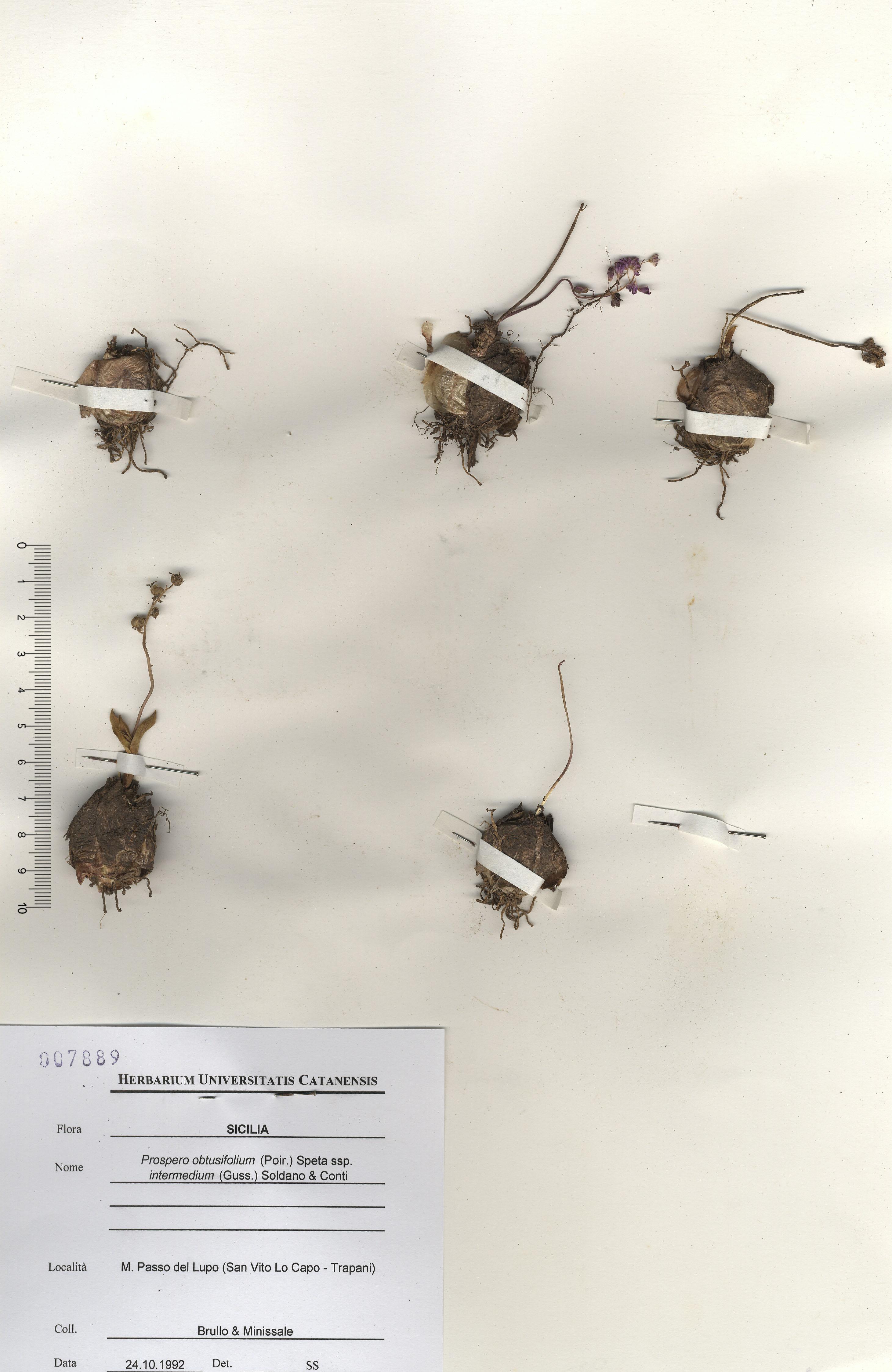 © Hortus Botanicus Catinensis - Herb. sheet 007889<br>