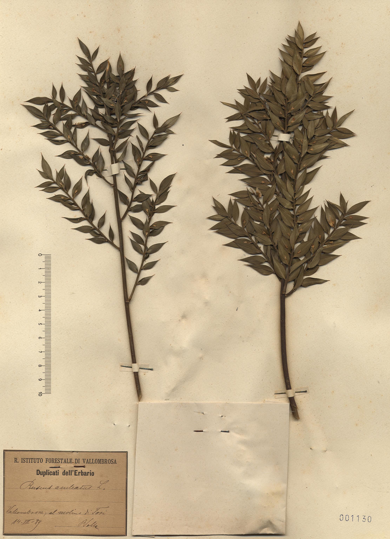 © Hortus Botanicus Catinensis - Herb. sheet 001130<br>