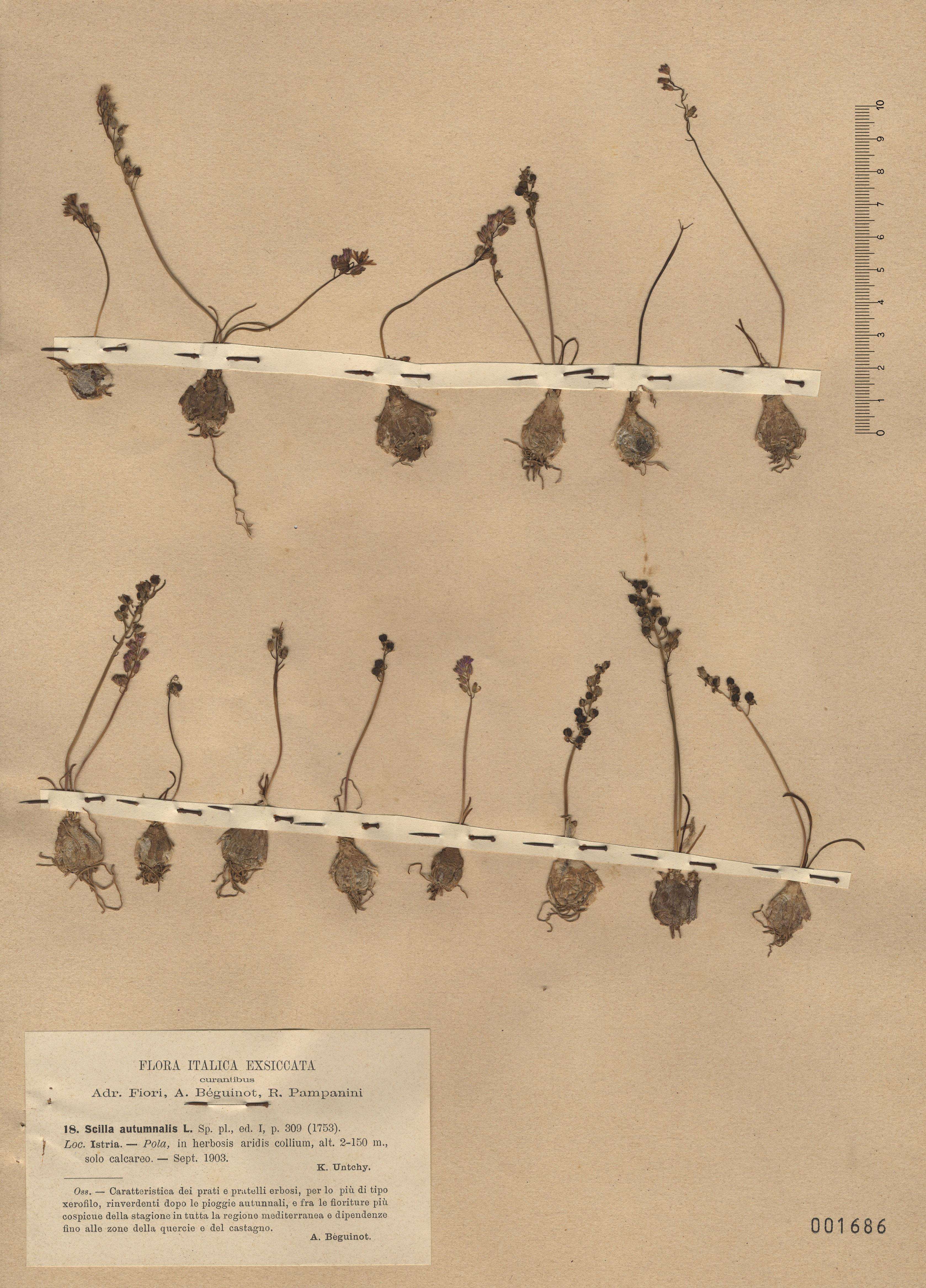 © Hortus Botanicus Catinensis - Herb. sheet 001686<br>