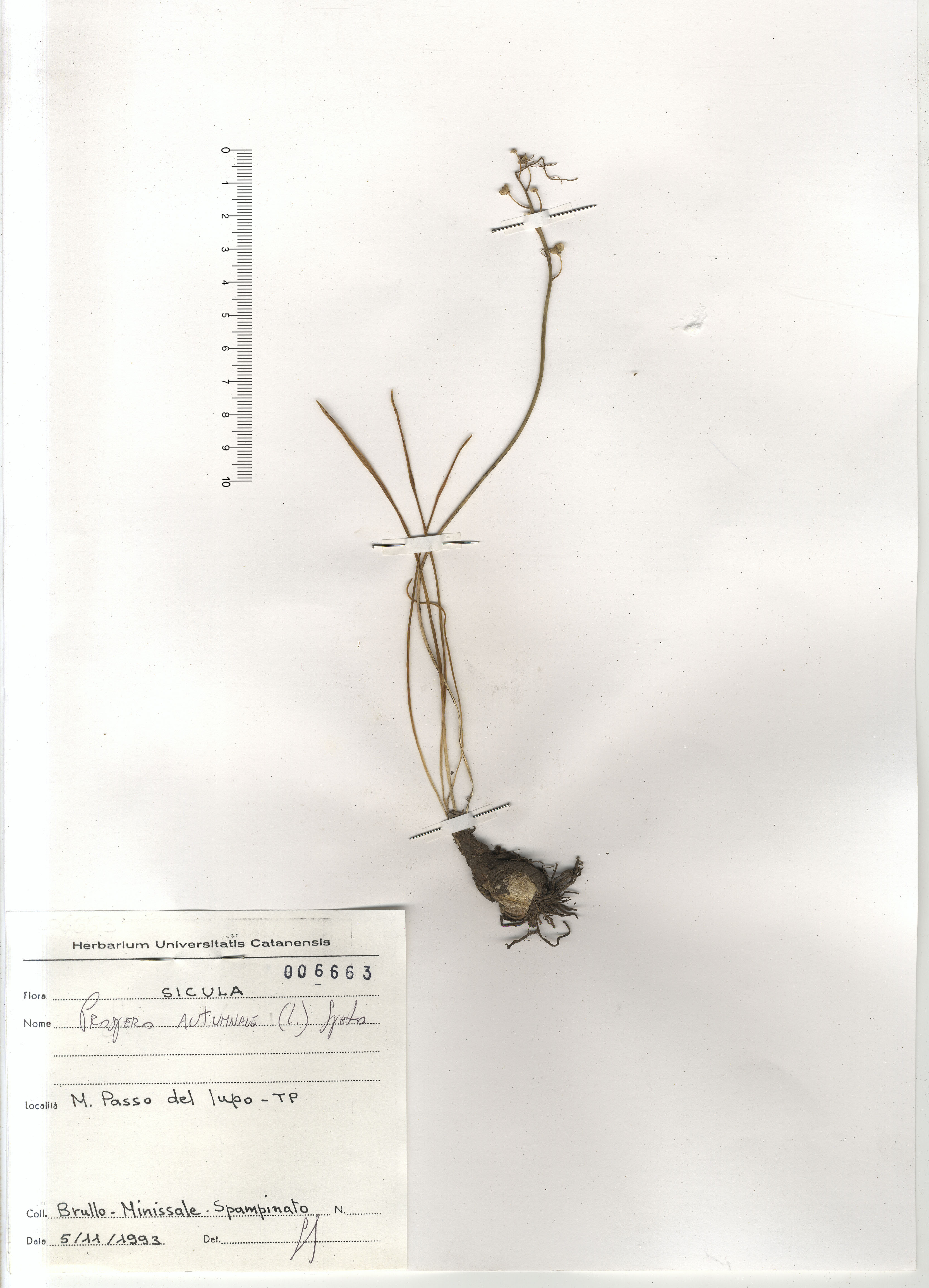 © Hortus Botanicus Catinensis - Herb. sheet 006663<br>