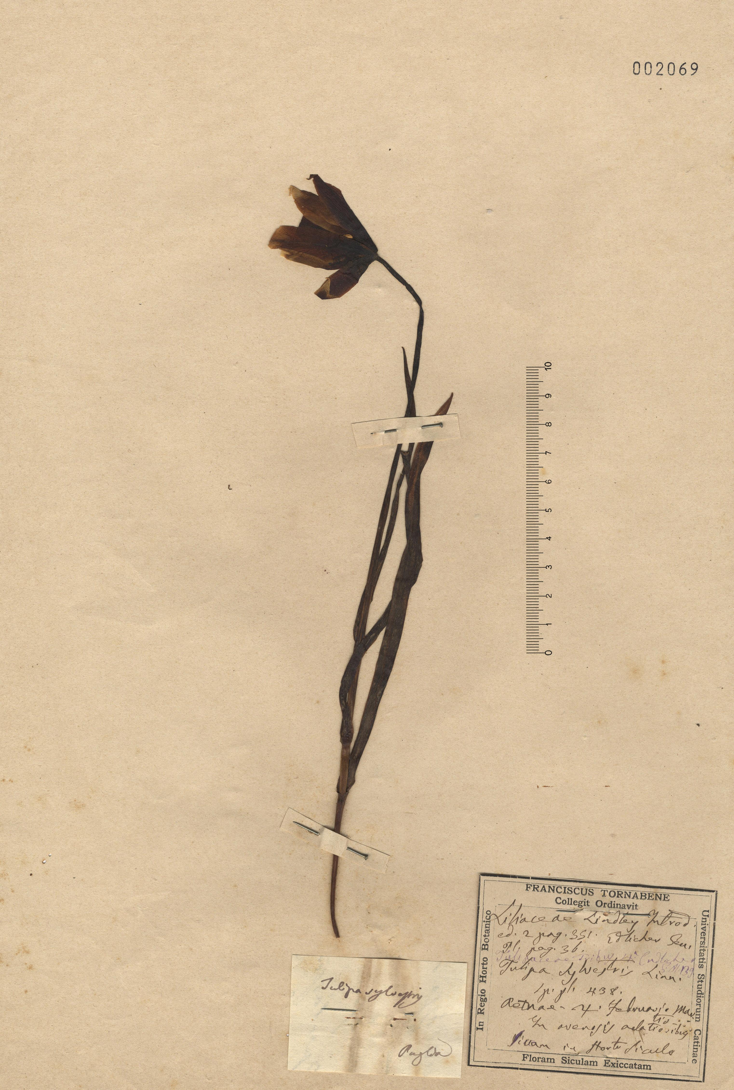 © Hortus Botanicus Catinensis - Herb. sheet 002069<br>
