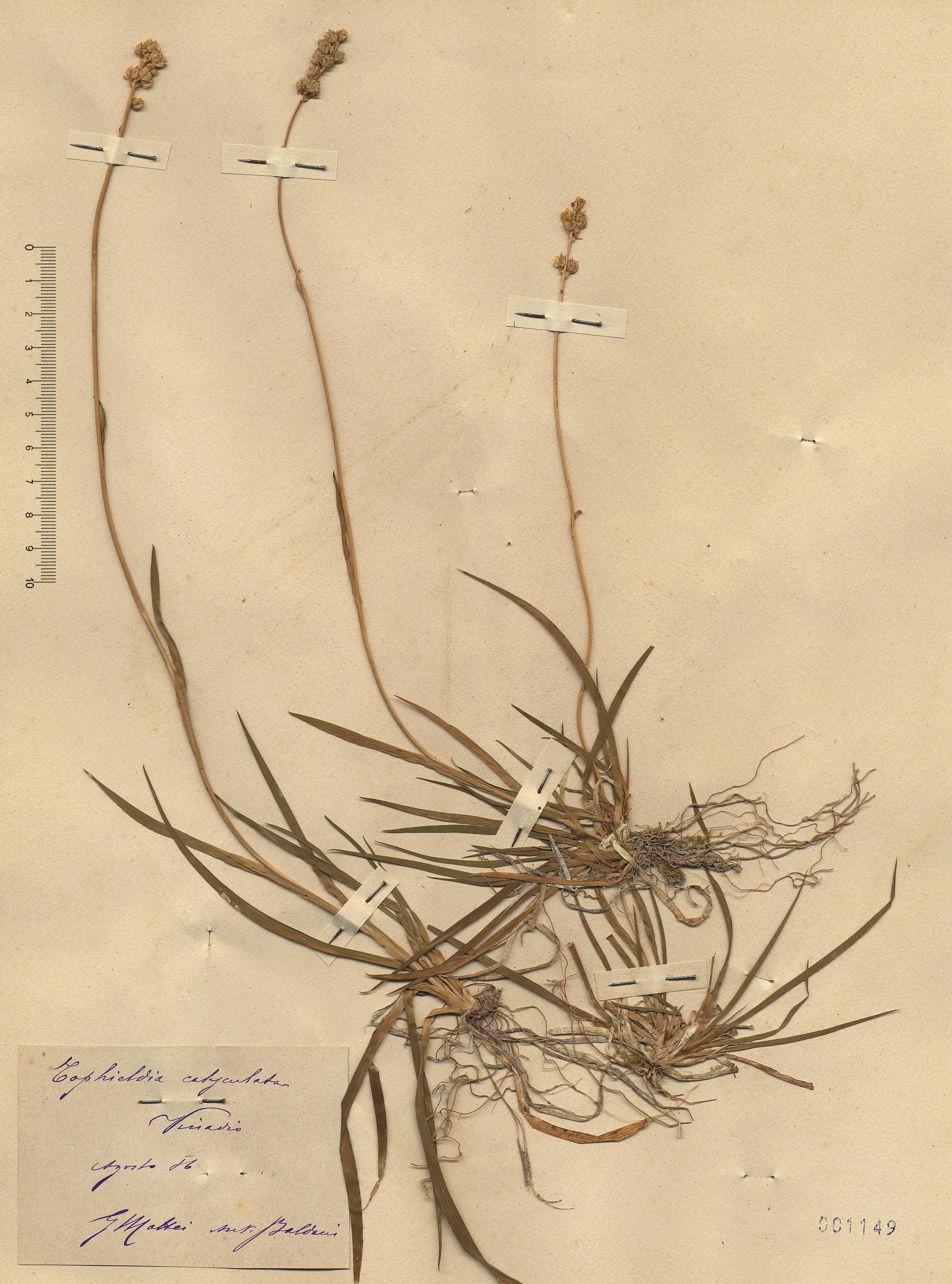 © Hortus Botanicus Catinensis - Herb. sheet 001149<br>