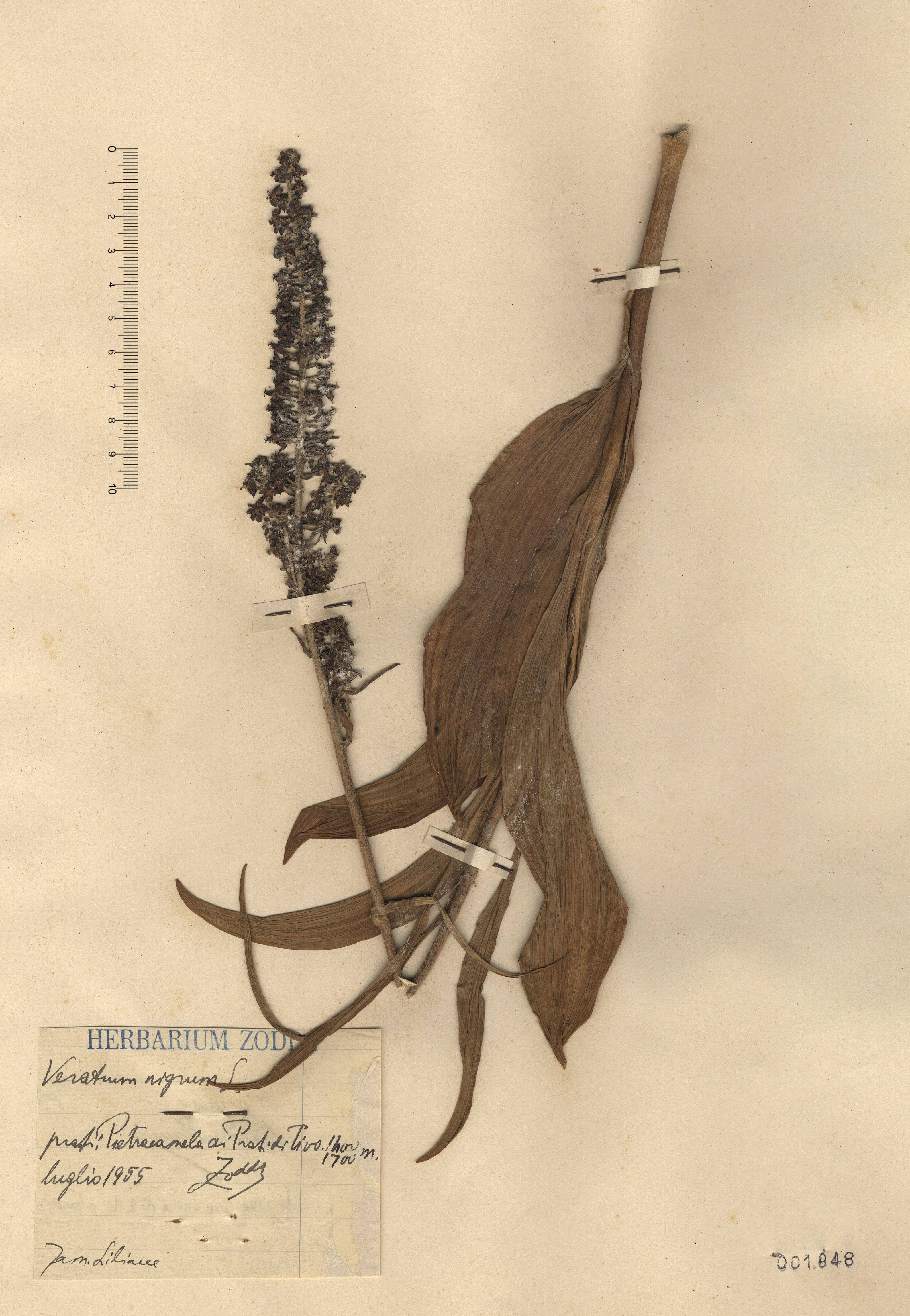 © Hortus Botanicus Catinensis - Herb. sheet 001848<br>