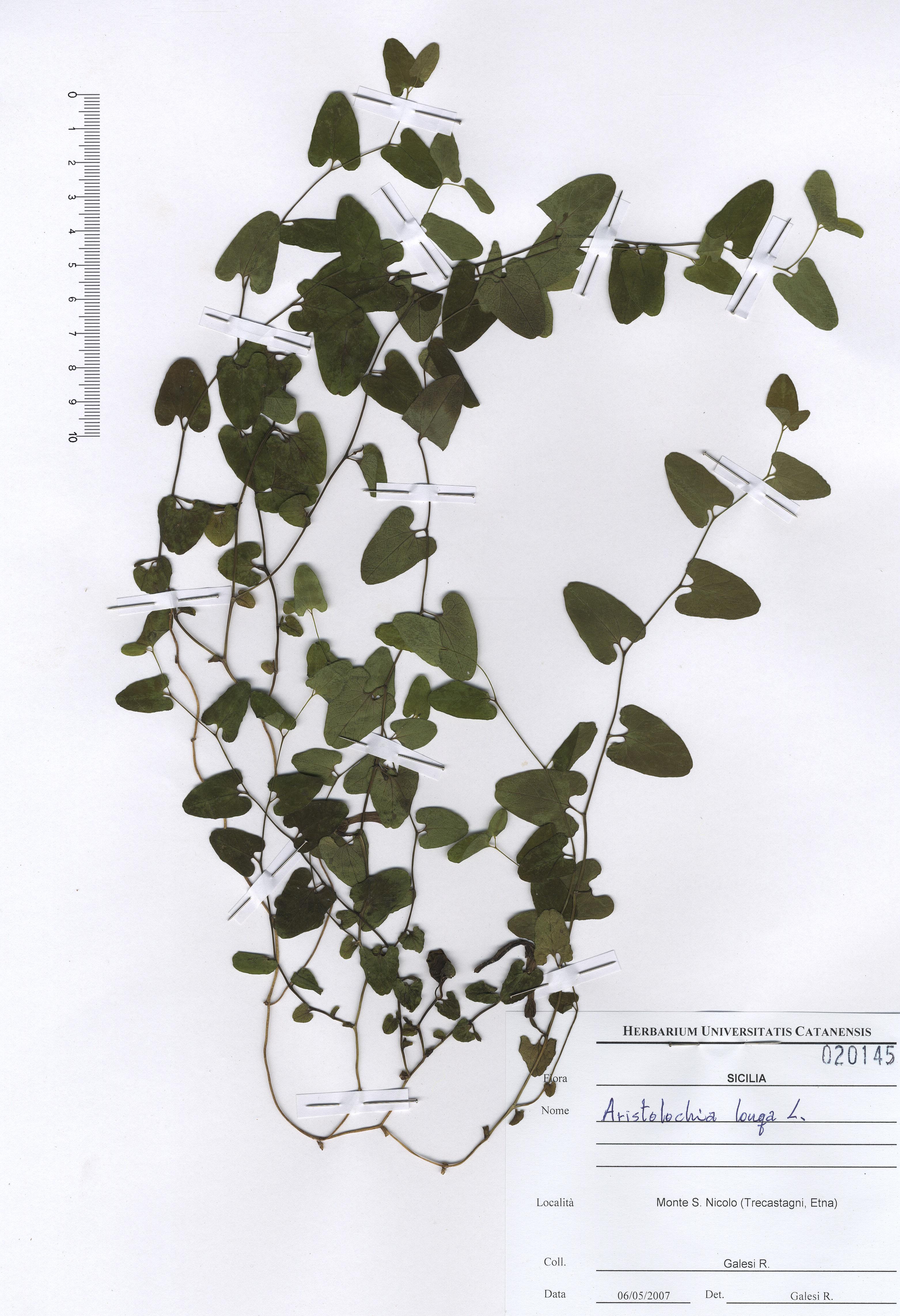 © Hortus Botanicus Catinensis - Herb. sheet 020145<br>