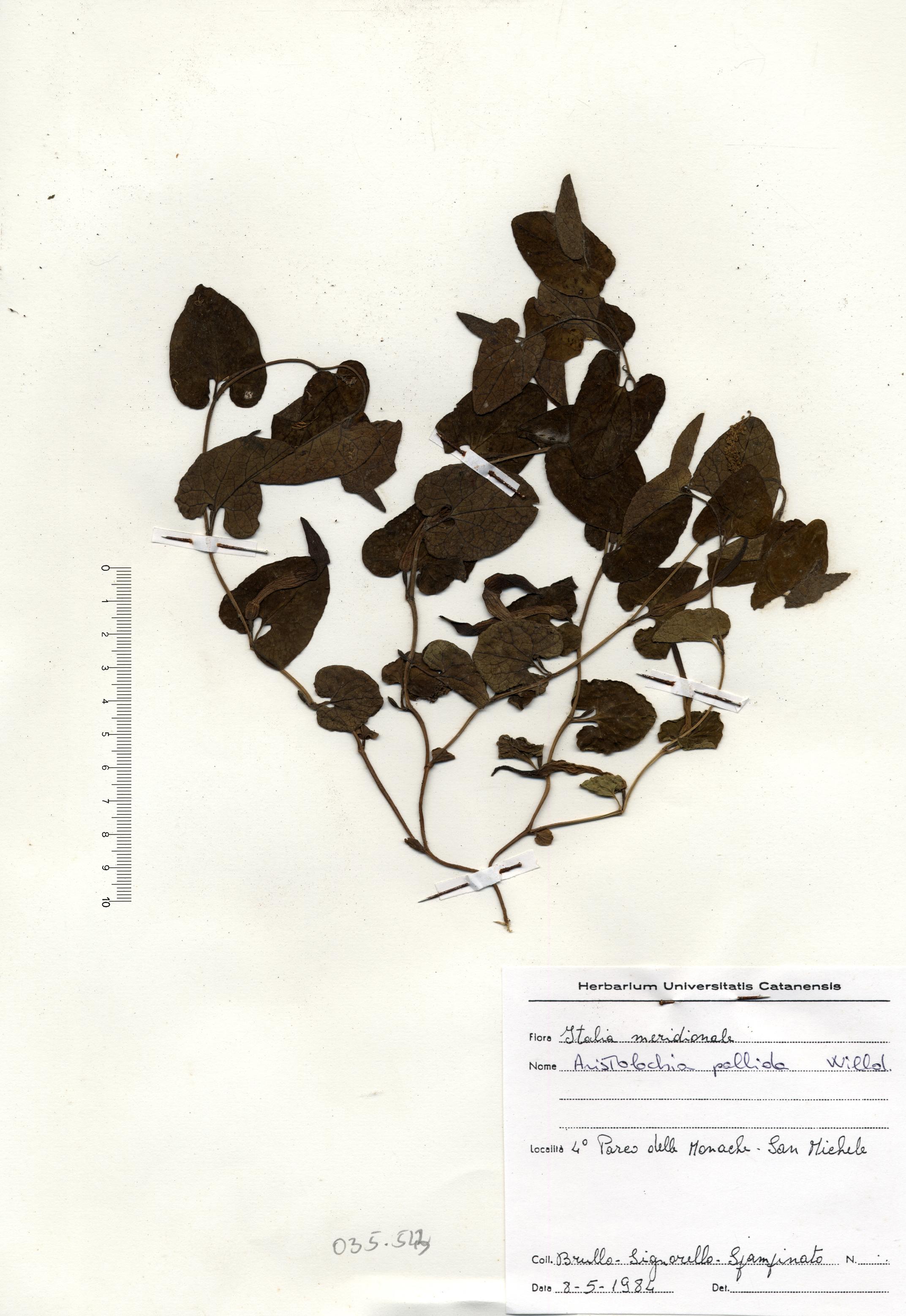 © Hortus Botanicus Catinensis - Herb. sheet 035543<br>