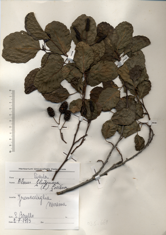 © Hortus Botanicus Catinensis - Herb. sheet 035669<br>