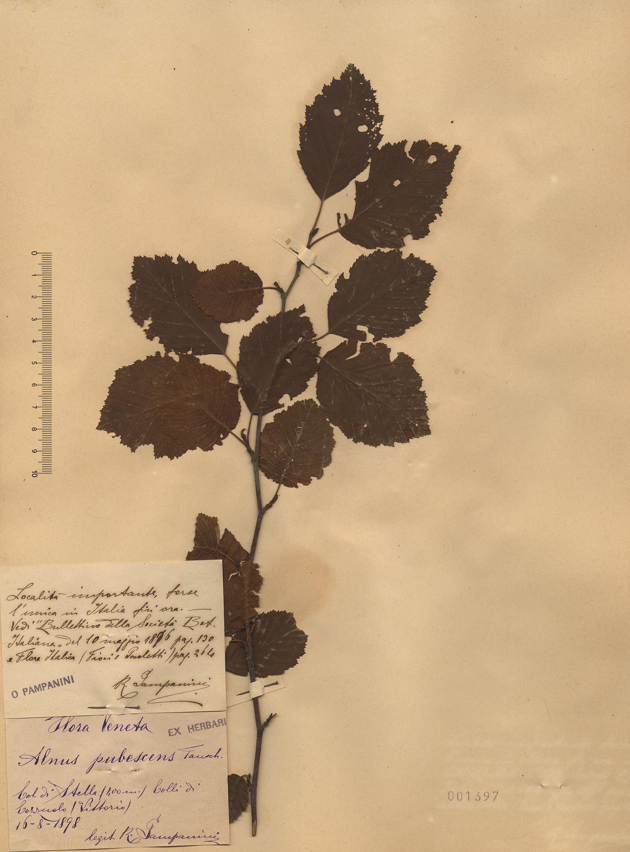 © Hortus Botanicus Catinensis - Herb. sheet 001397<br>