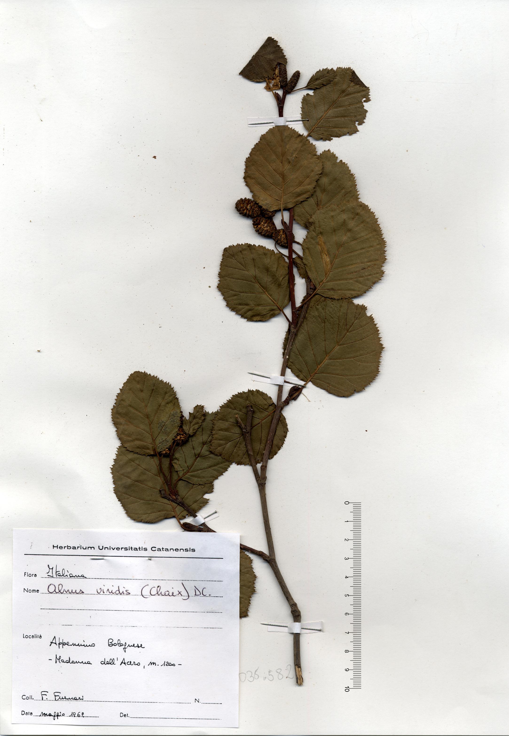 © Hortus Botanicus Catinensis - Herb. sheet 035582<br>