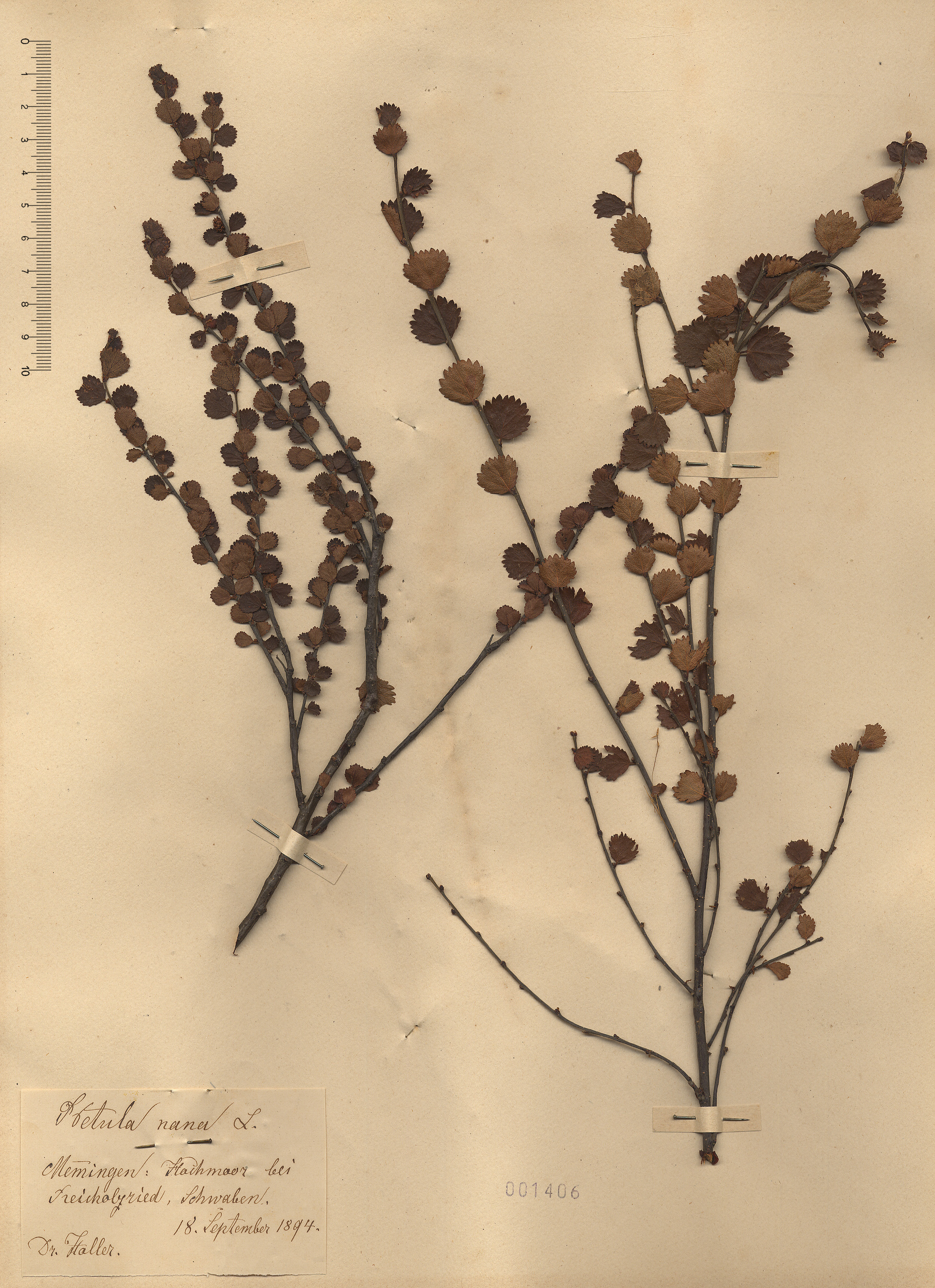 © Hortus Botanicus Catinensis - Herb. sheet 001406<br>