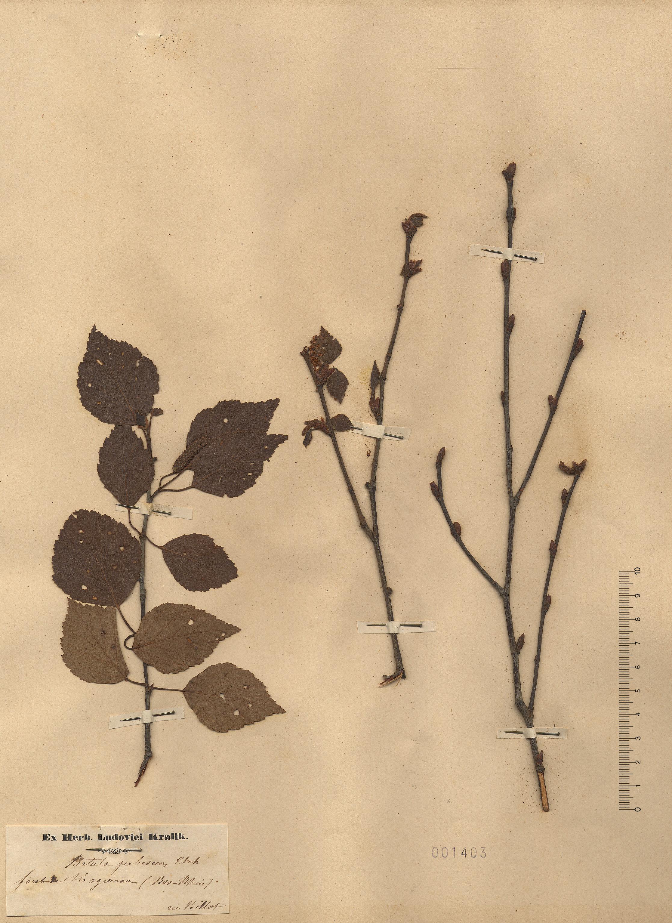 © Hortus Botanicus Catinensis - Herb. sheet 001403<br>