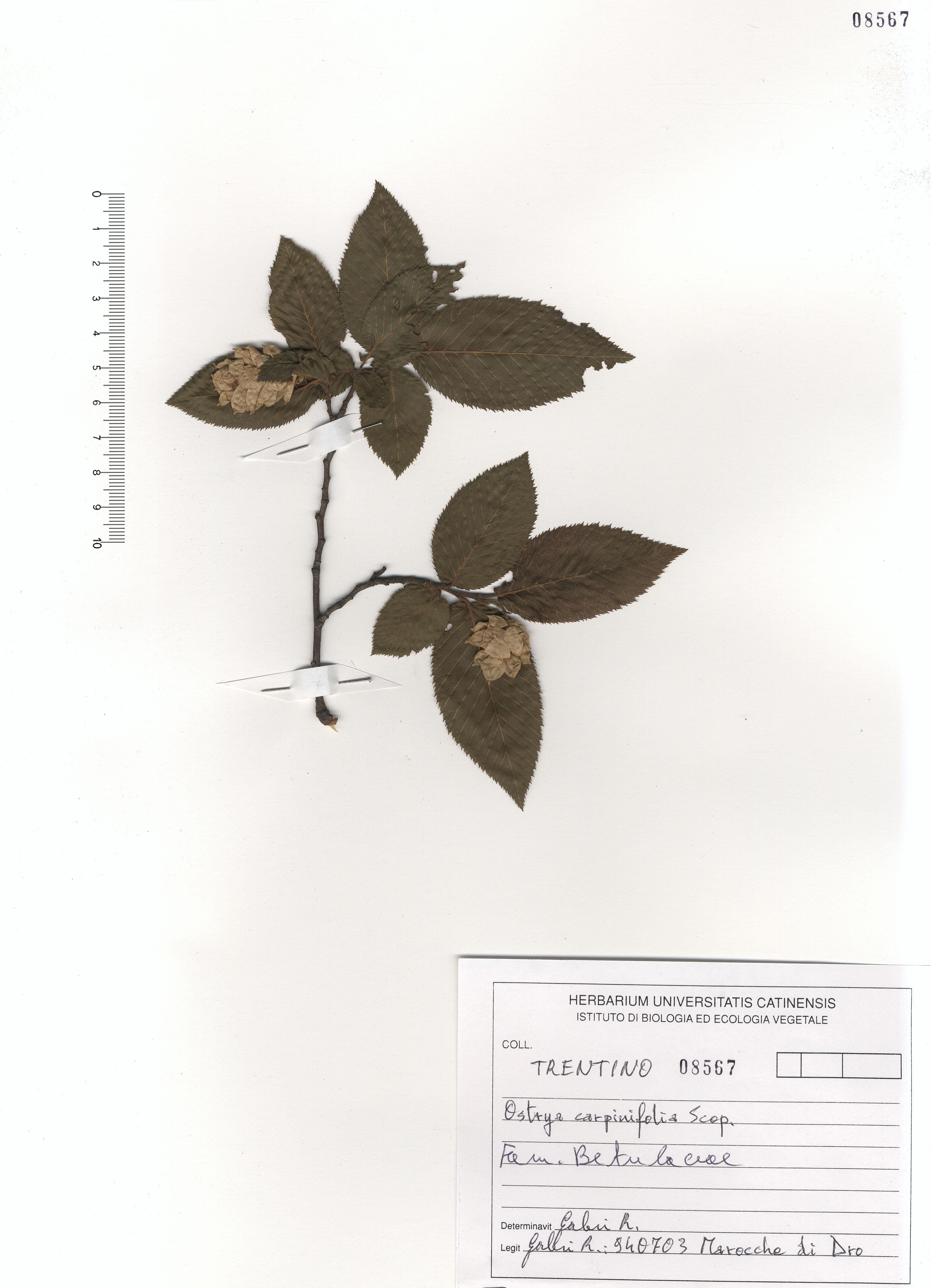 © Hortus Botanicus Catinensis - Herb. sheet 108567<br>