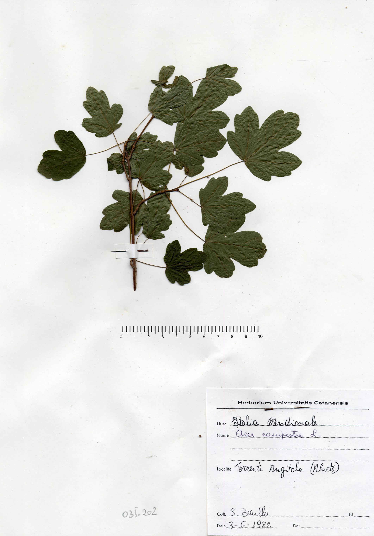 © Hortus Botanicus Catinensis - Herb. sheet 035202<br>