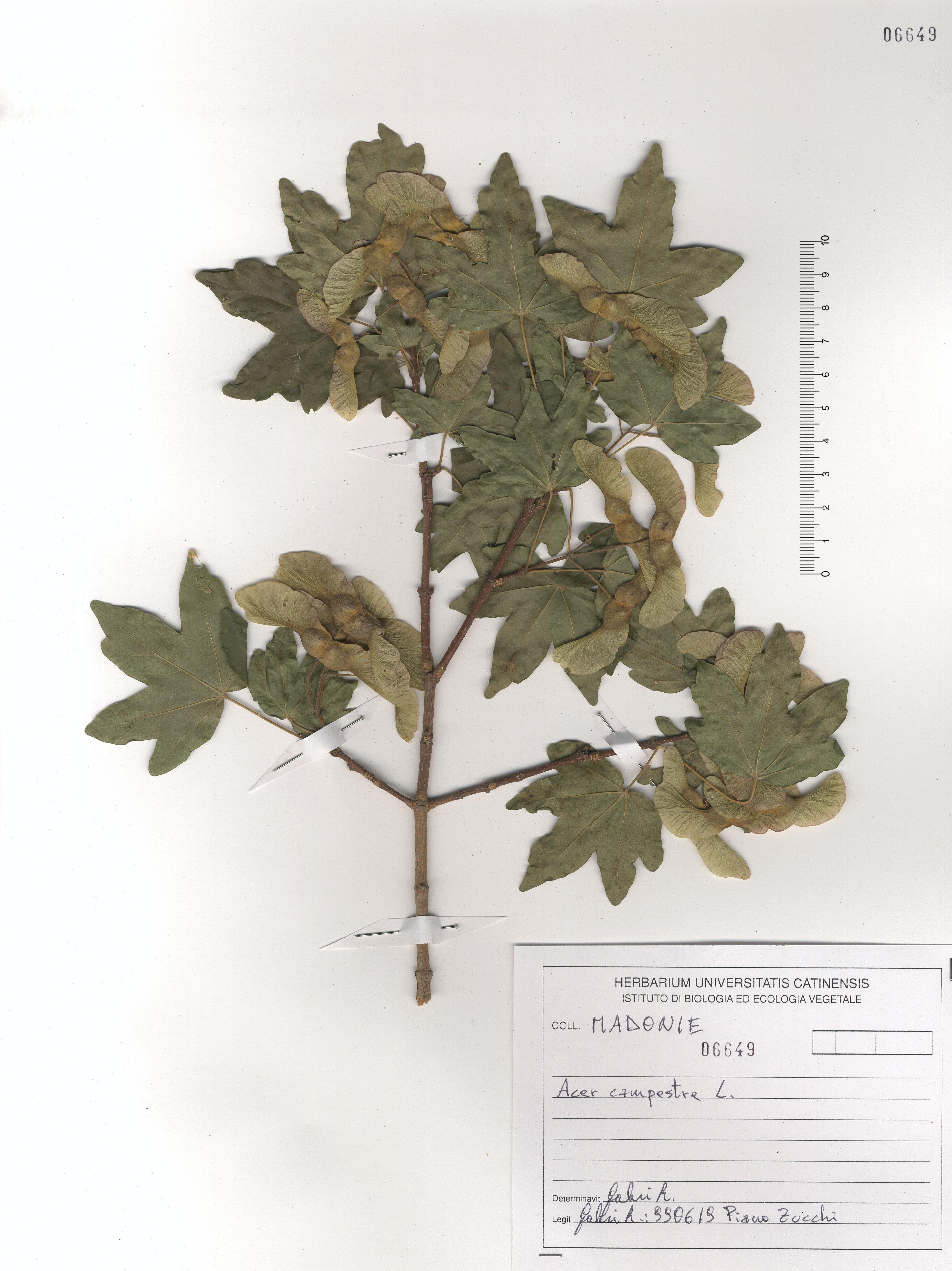 © Hortus Botanicus Catinensis - Herb. sheet 106649<br>
