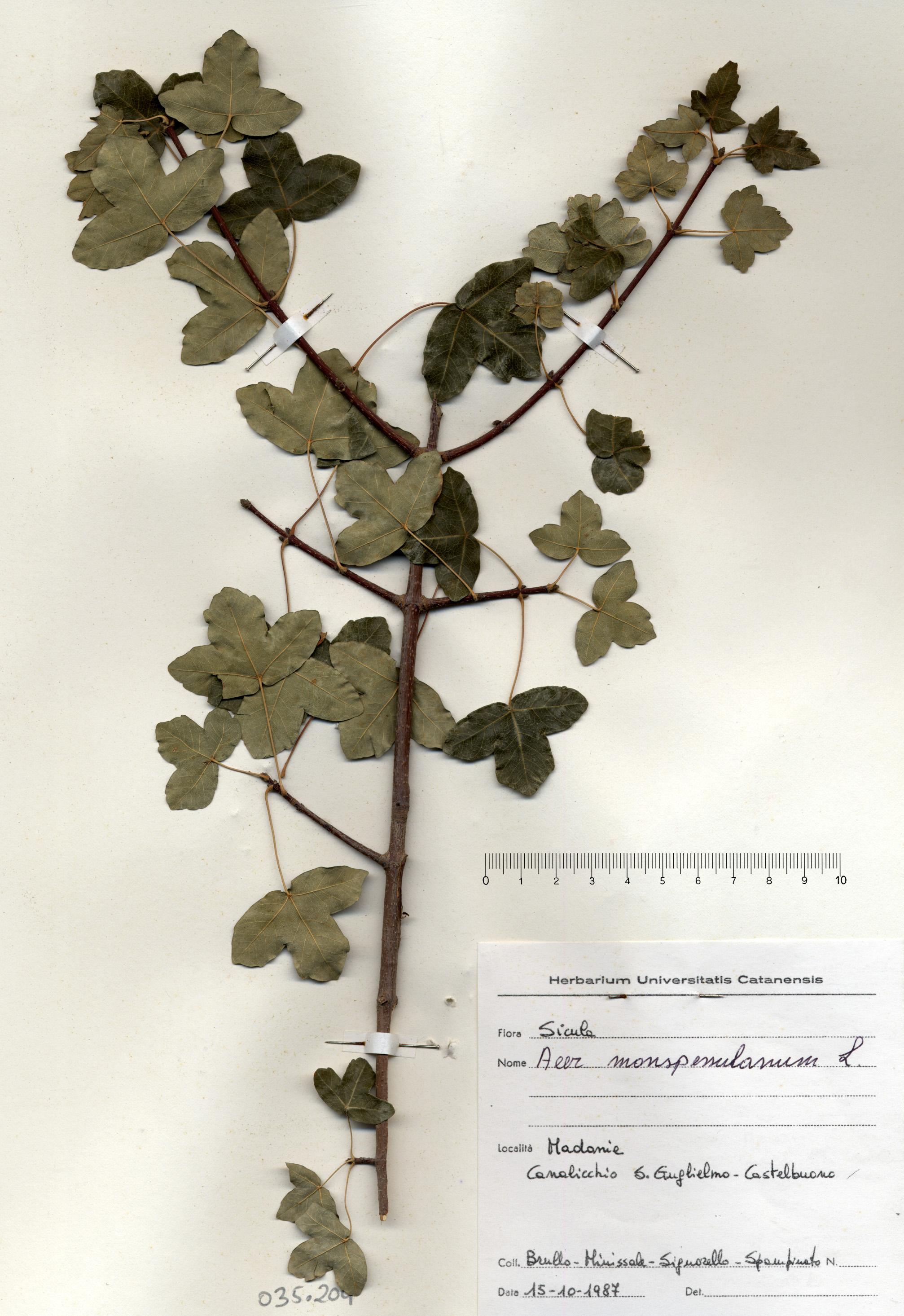 © Hortus Botanicus Catinensis - Herb. sheet 035204<br>