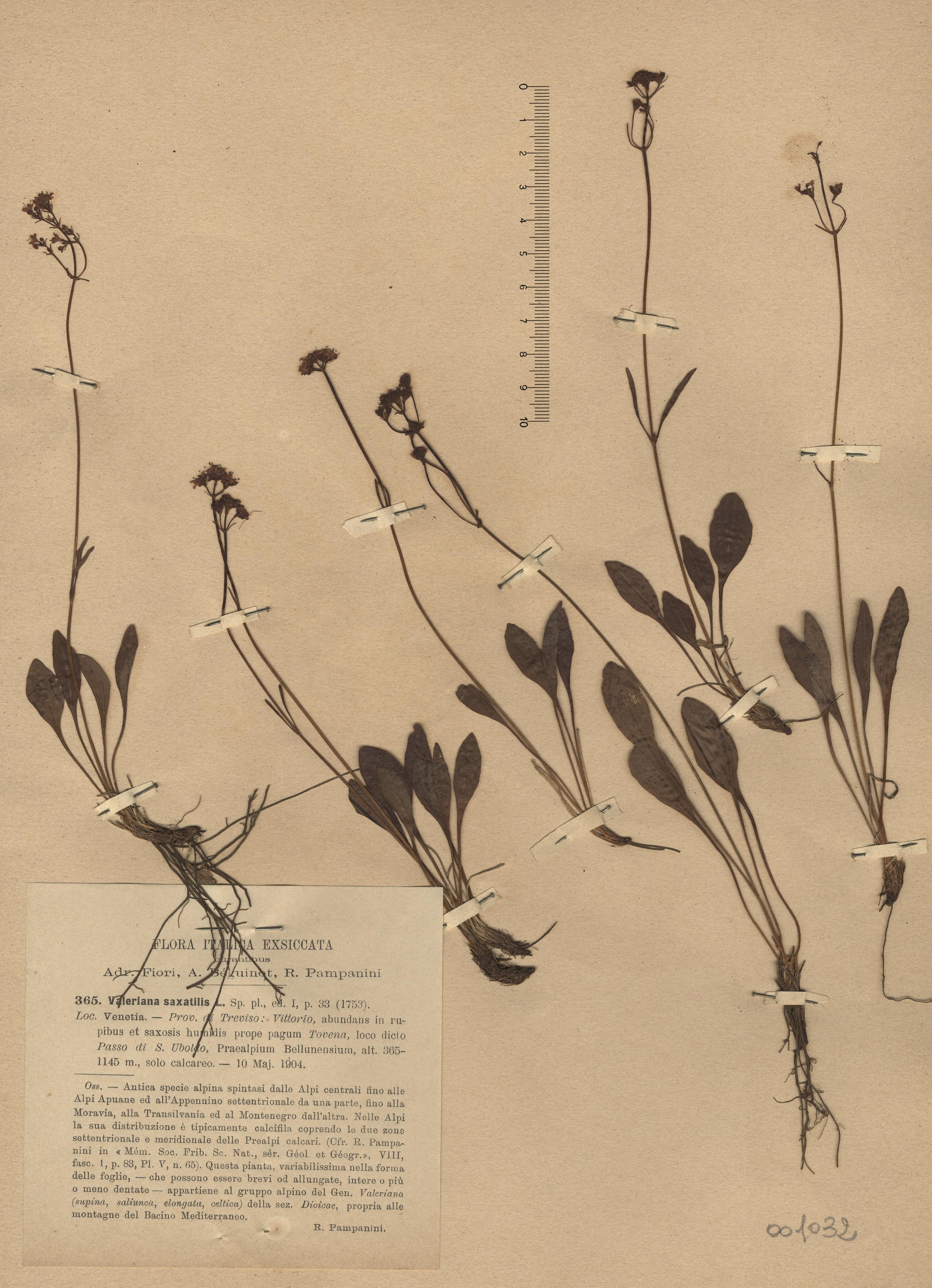© Hortus Botanicus Catinensis - Herb. sheet 001032<br>