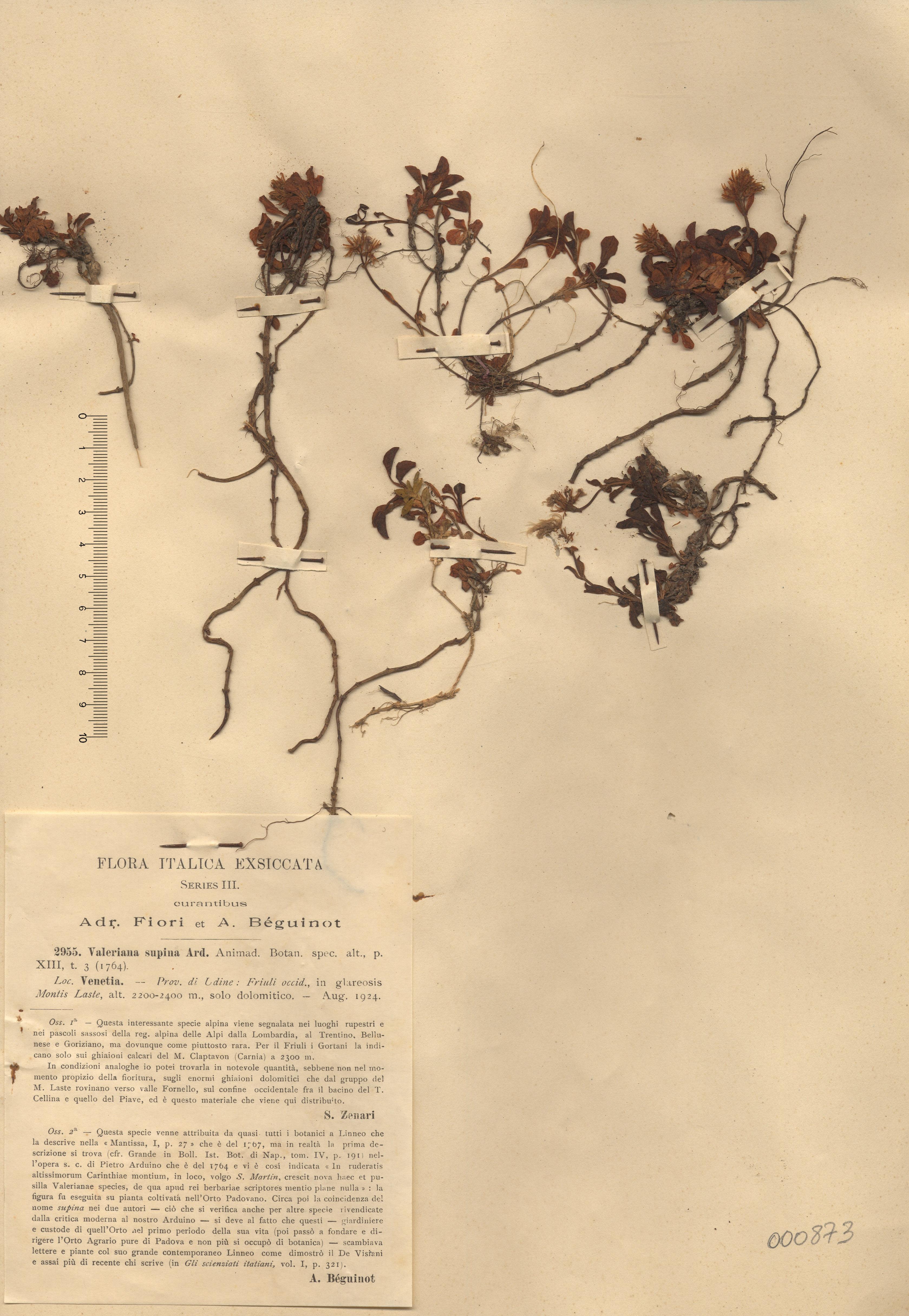 © Hortus Botanicus Catinensis - Herb. sheet 000873<br>