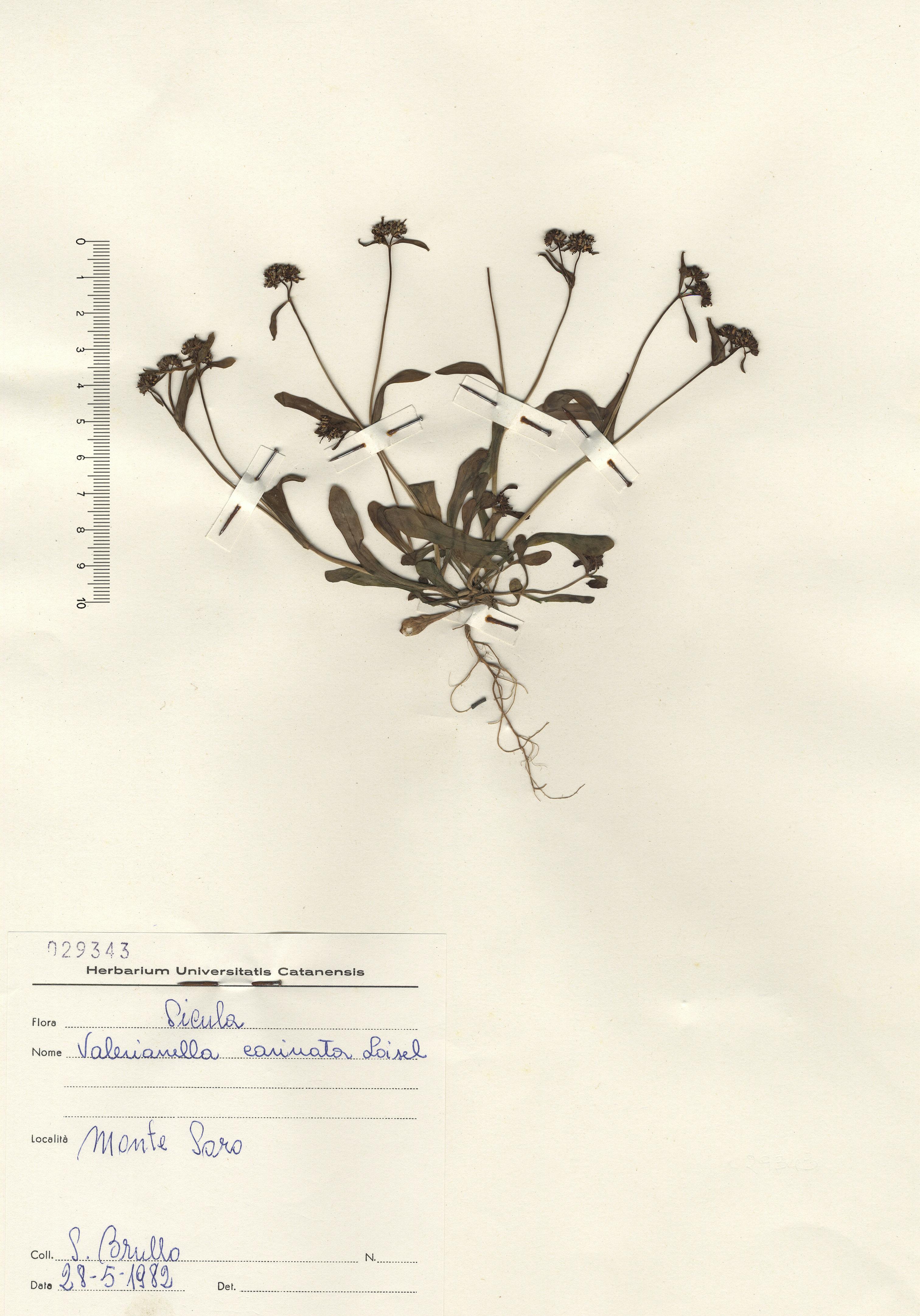 © Hortus Botanicus Catinensis - Herb. sheet 029343<br>