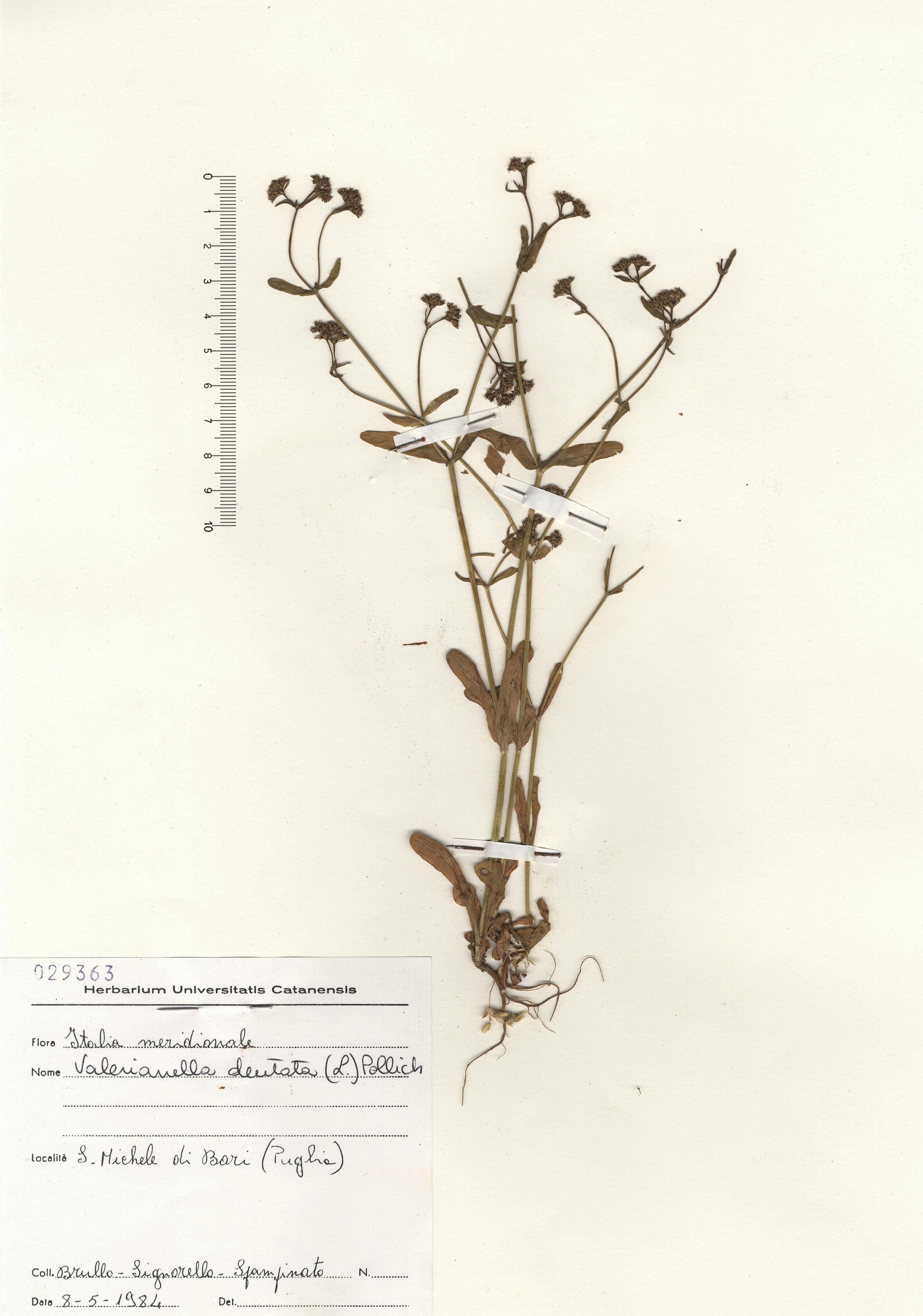 © Hortus Botanicus Catinensis - Herb. sheet 029363<br>