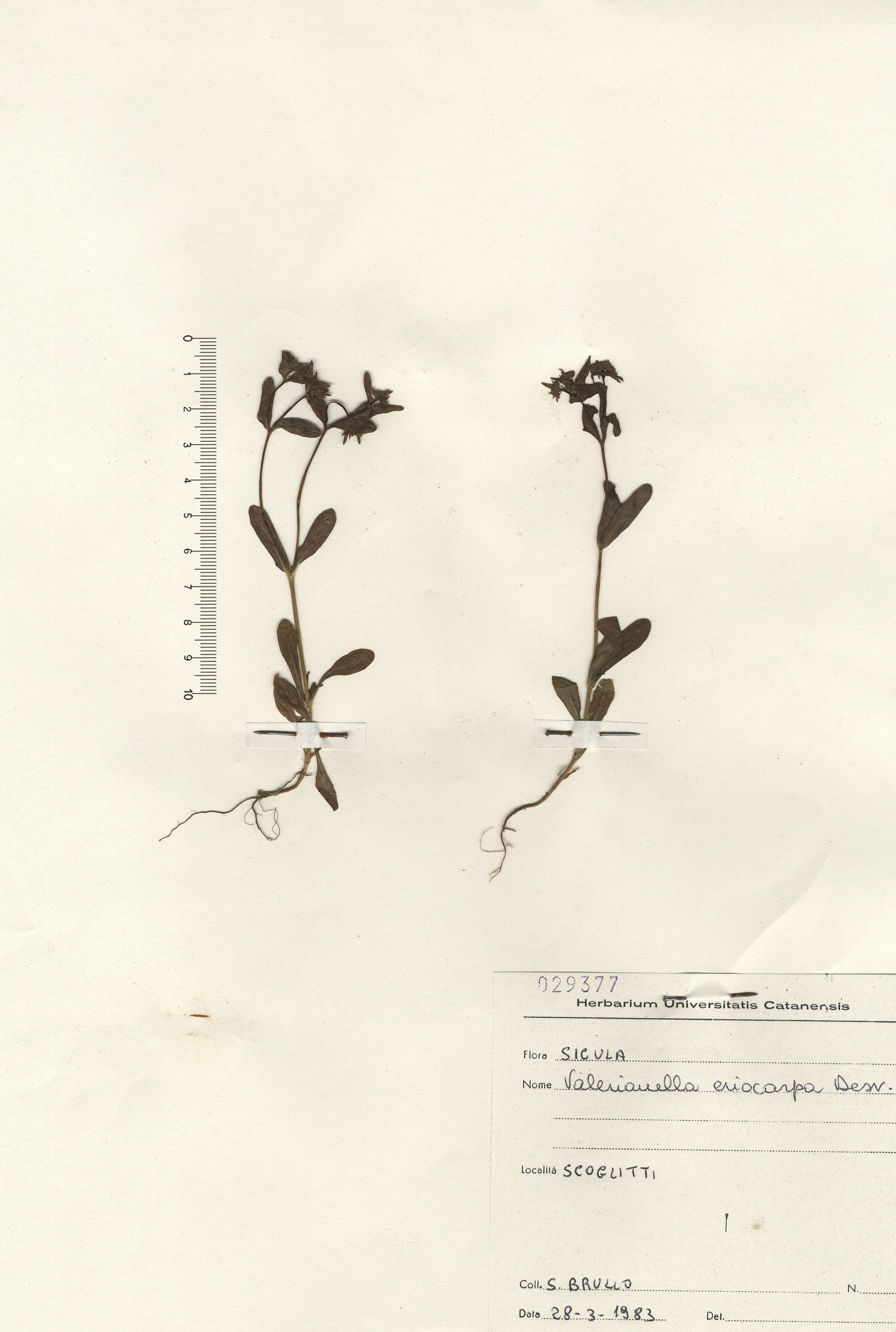 © Hortus Botanicus Catinensis - Herb. sheet 029377<br>