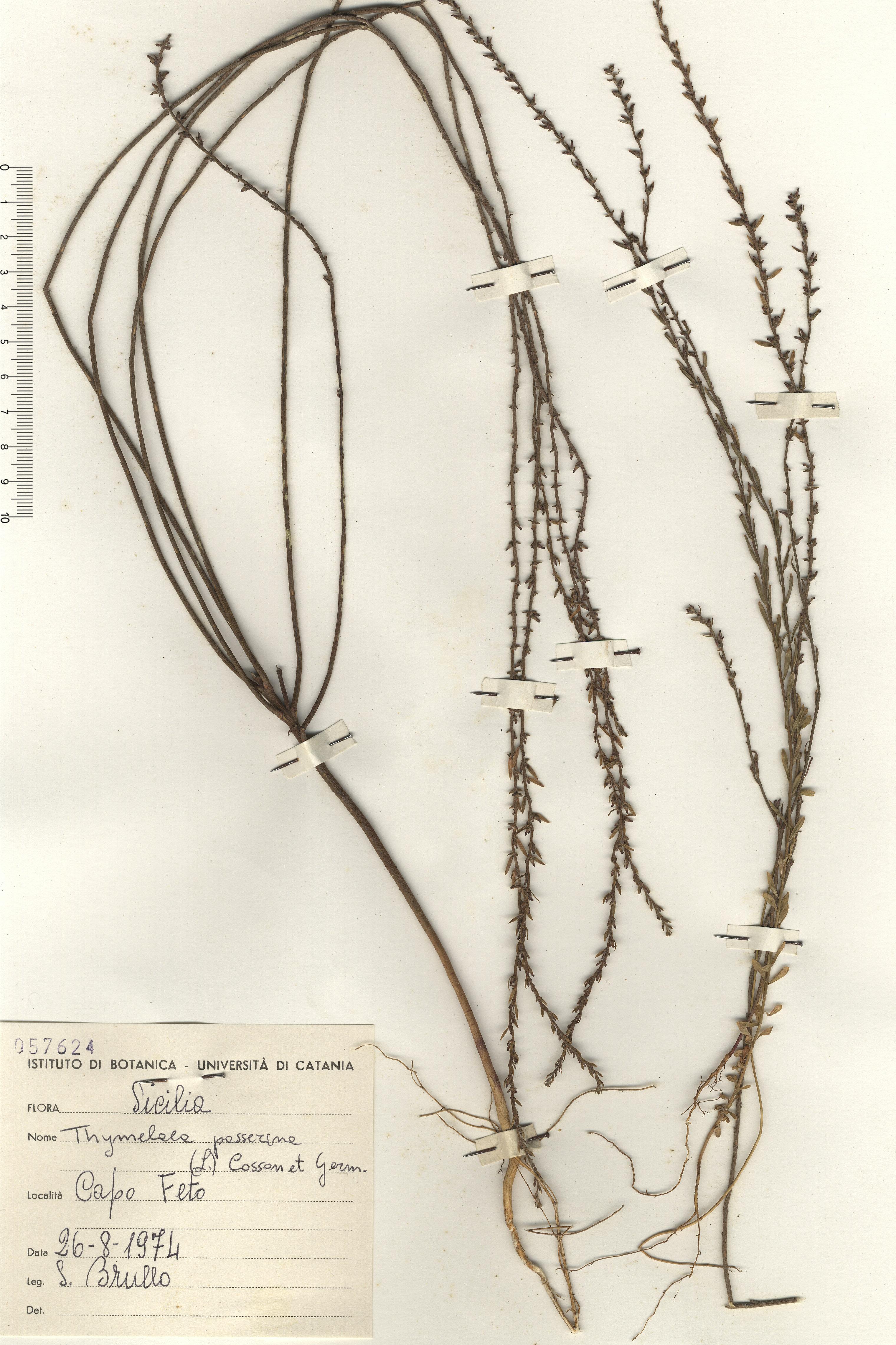 © Hortus Botanicus Catinensis - Herb. sheet 057624<br>