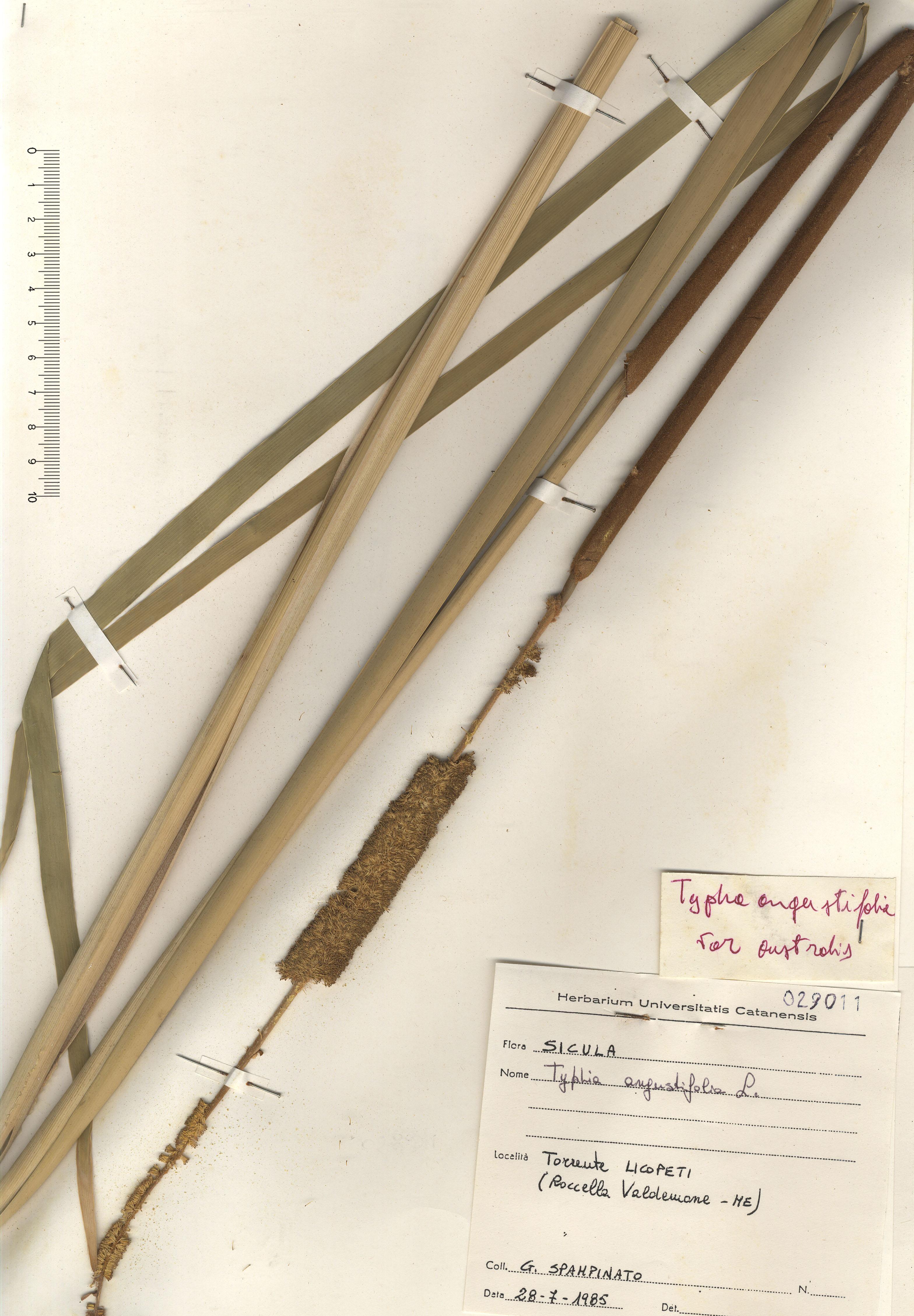 © Hortus Botanicus Catinensis - Herb. sheet 029011<br>
