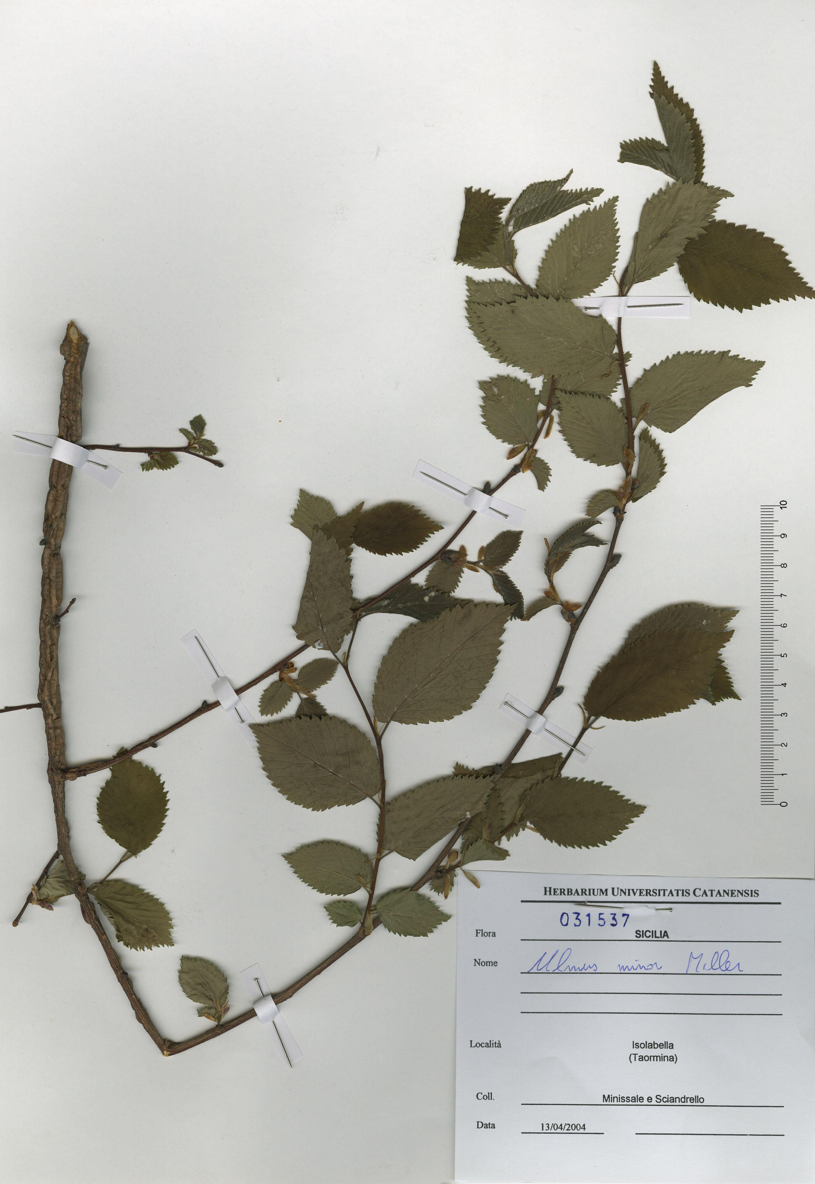 © Hortus Botanicus Catinensis - Herb. sheet 031537<br>