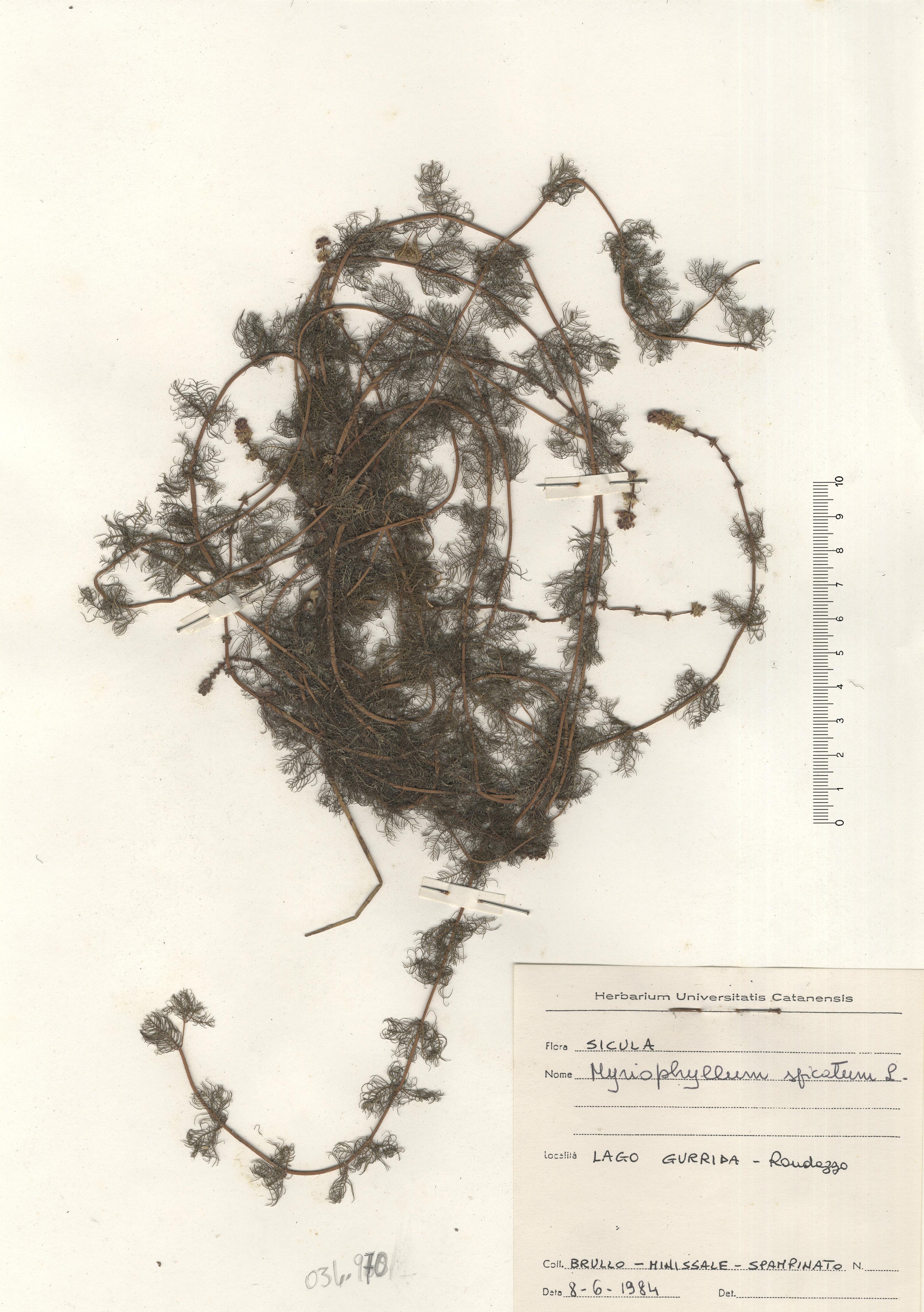 © Hortus Botanicus Catinensis - Herb. sheet 034970<br>
